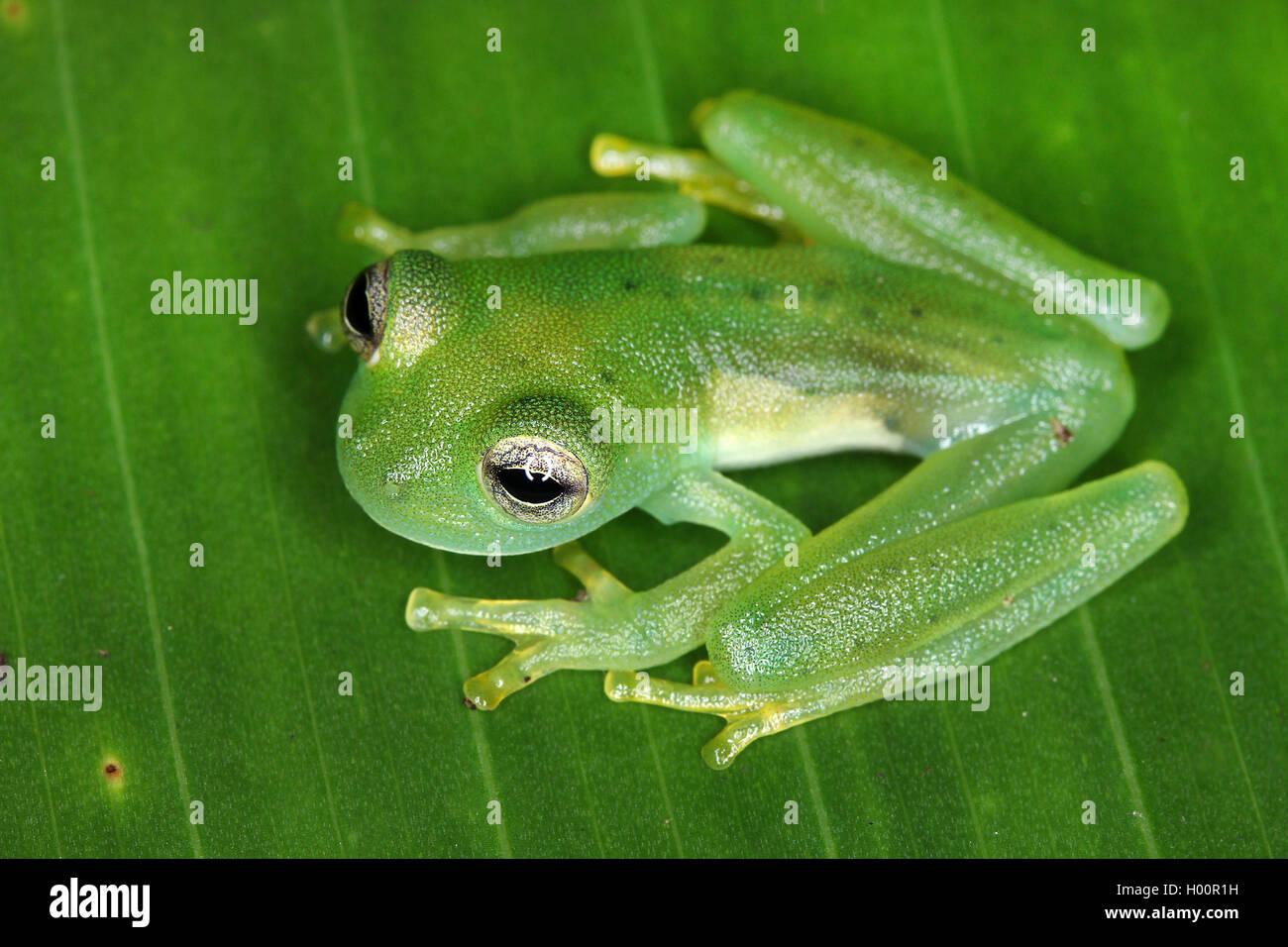 Glasfrosch, Glas-Frosch, Espadarana prosoplepon (Espadarana prosoplepon, Centrolena prosoplepon), sitzt auf einem - Stock Image