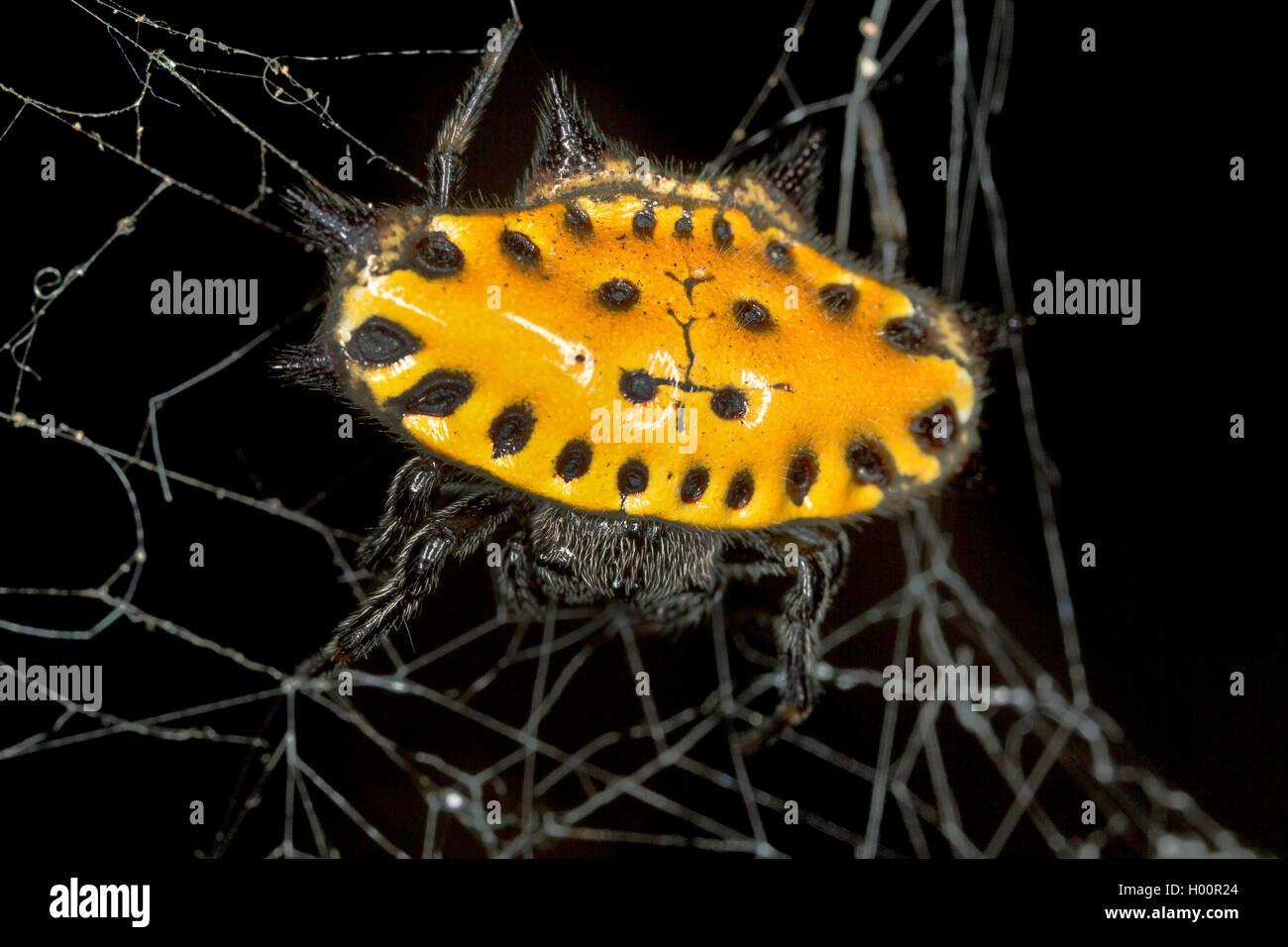 Radnetzspinne, Radnetz-Spinne, Gastercantha cancriformis (Gastercantha cancriformis), in ihrem Netz, Costa Rica - Stock Image