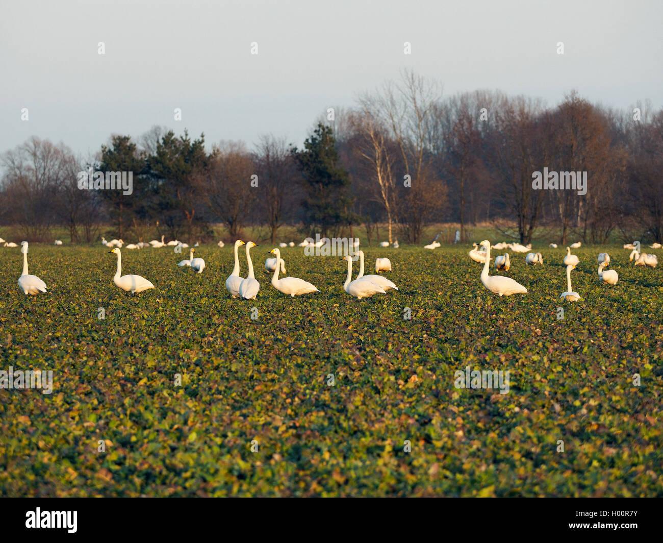 Singschwan, Sing-Schwan (Cygnus cygnus), Singschwaene auf einem Feld, Deutschland, Sachsen, Obere Lausitz | whooper Stock Photo