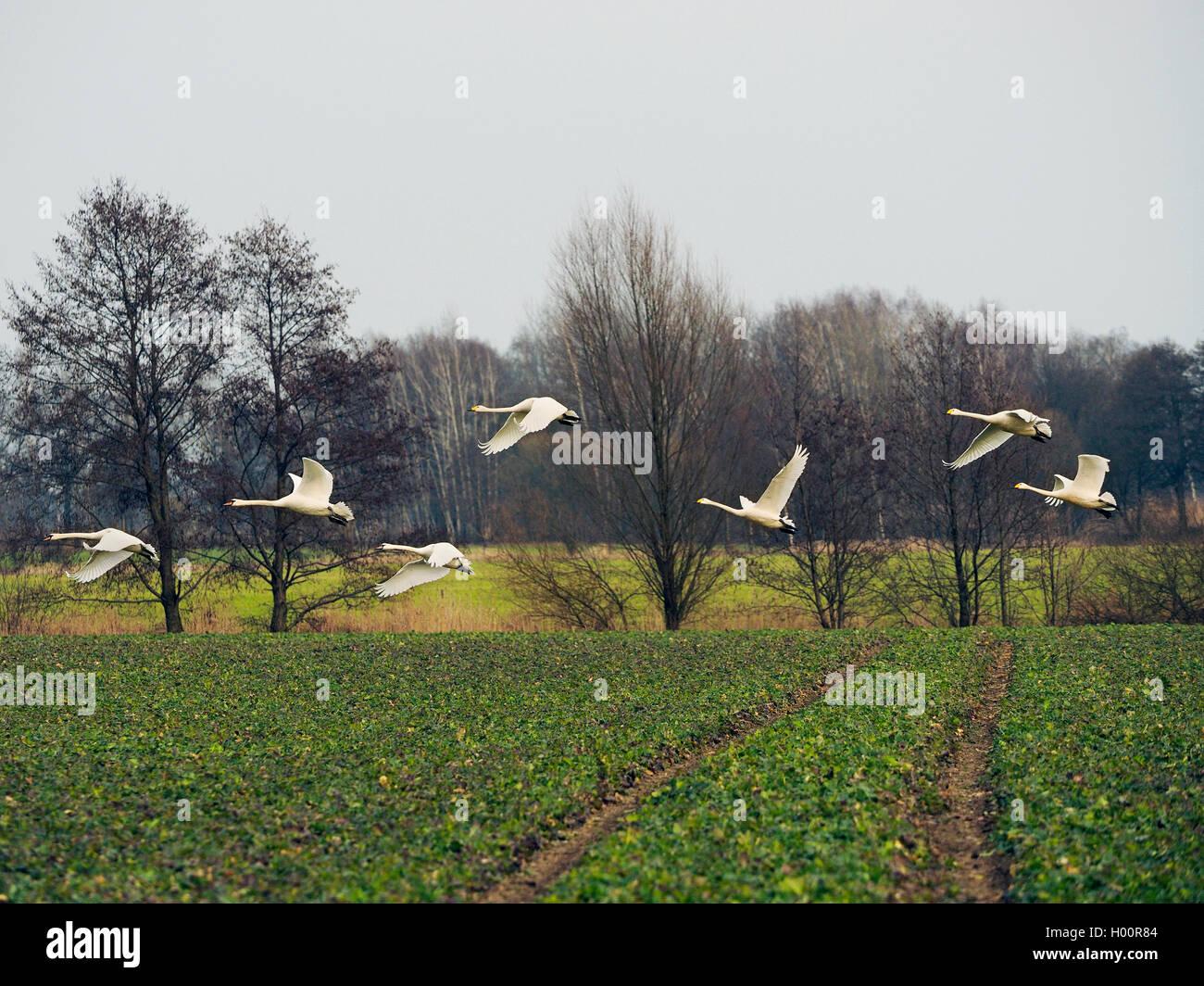 Singschwan, Sing-Schwan (Cygnus cygnus), fliegende Sing-und Hoeckerschwaene, Deutschland, Sachsen, Obere Lausitz Stock Photo