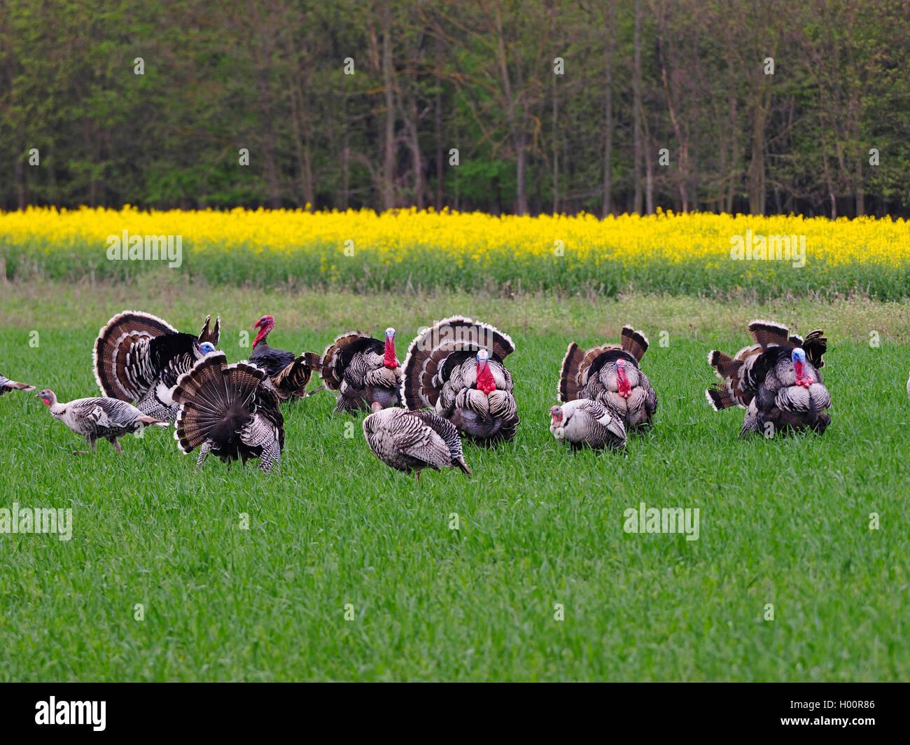 Truthuhn, Truthahn (Meleagris gallopavo), freilebendeTruthahngruppe in der Balz, Oesterreich, Burgenland | common Stock Photo