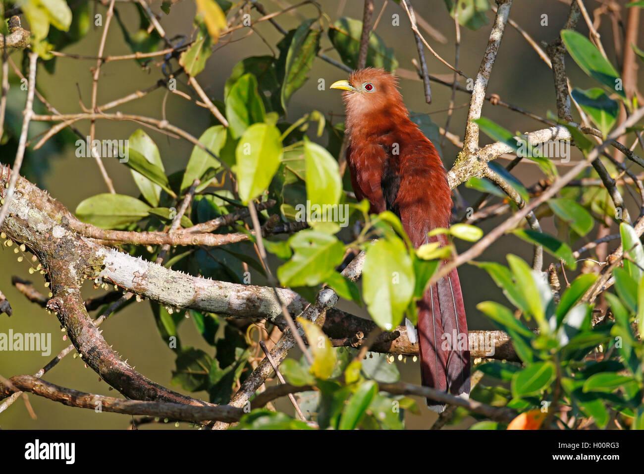 Cayennekuckuck, Cayenne-Kuckuck, Eichhornkuckuck, Eichhorn-Kuckuck (Piaya cayana), sitzt auf einem Ast im Baum, - Stock Image