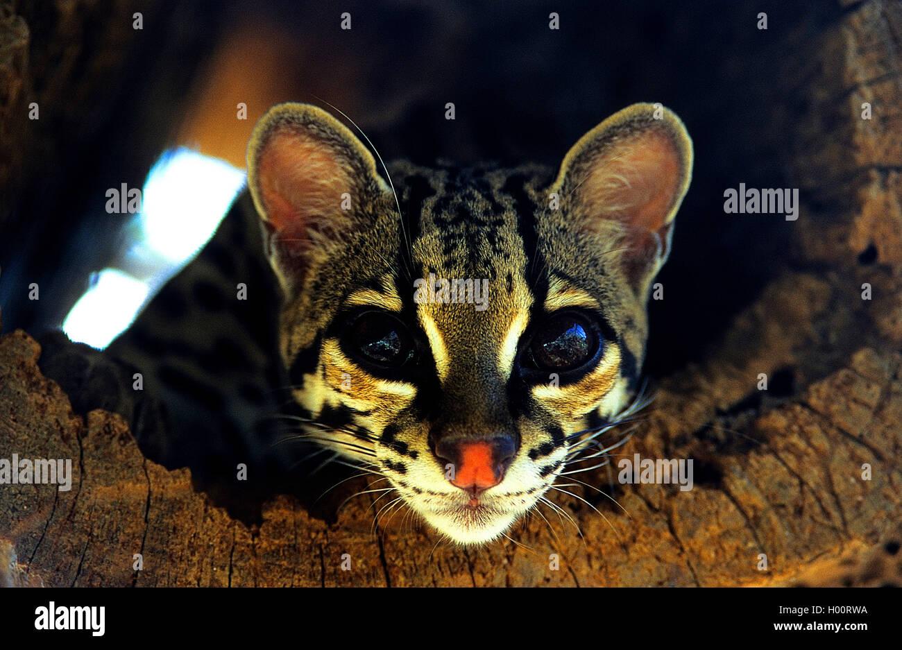 Langschanzkatze, Langschwanz-Katze, Peludo, Margay, Bergozelot, Berg-Ozelot, Baumozelot, Baum-Ozelot (Leopardus - Stock Image