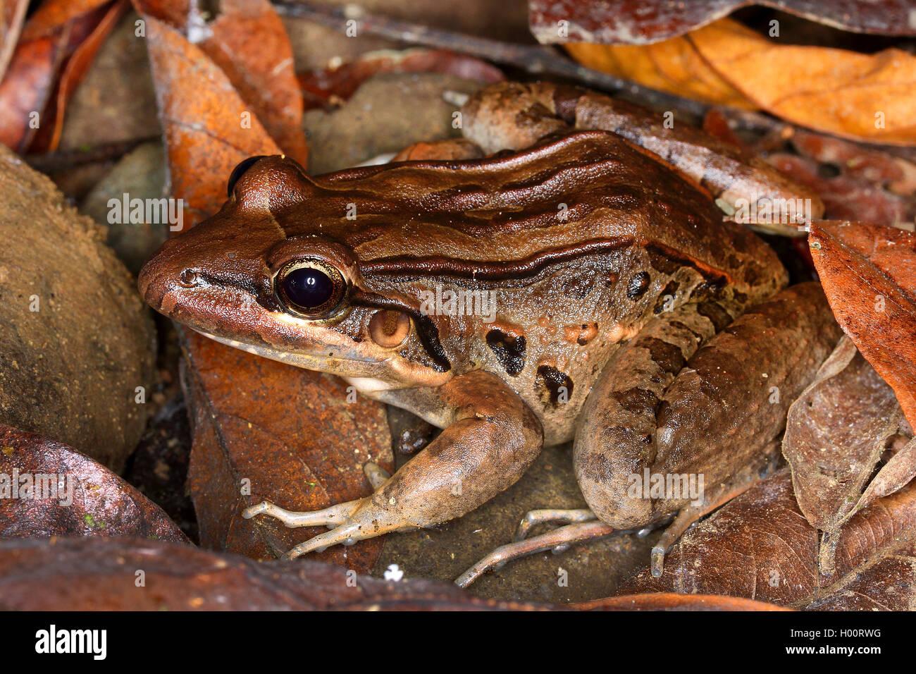 Forrers Grasfrosch (Lithobates forreri, Rana forreri), auf Falllaub, Costa Rica | Forrer's Leopard Frog, Forrer's - Stock Image