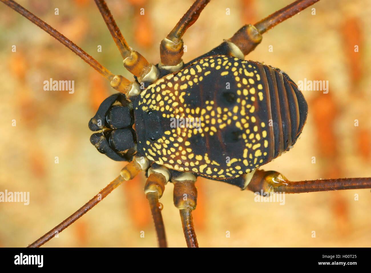Weberknecht, Paecilaema chiriquiense (Paecilaema chiriquiense), Koerper, Costa Rica | harvestman (Paecilaema chiriquiense), - Stock Image