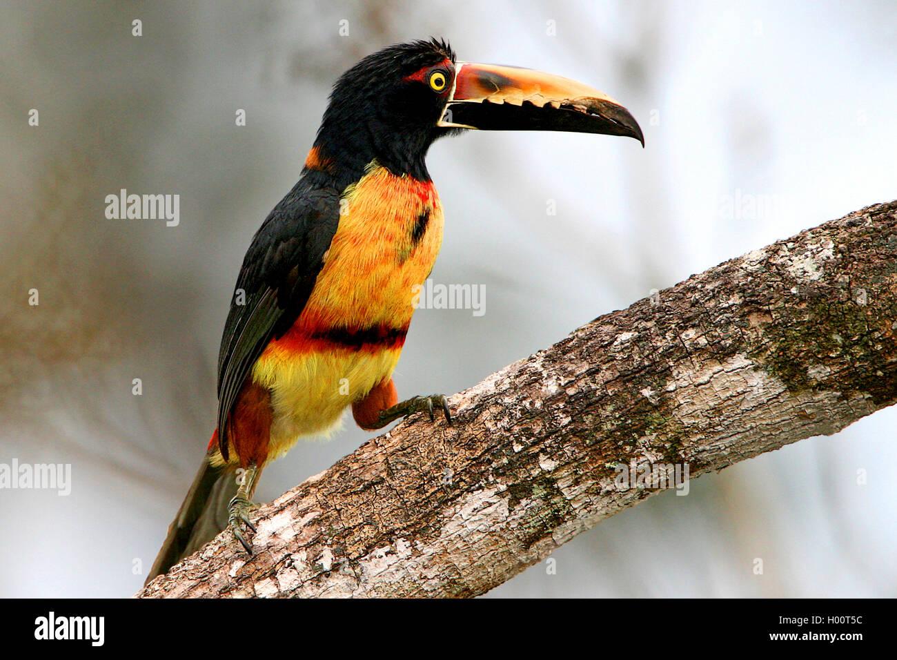 Halsbandarassari, Halsband-Arassari (Pteroglossus torquatus), sitzt auf einem Ast, Costa Rica   collared aracari - Stock Image