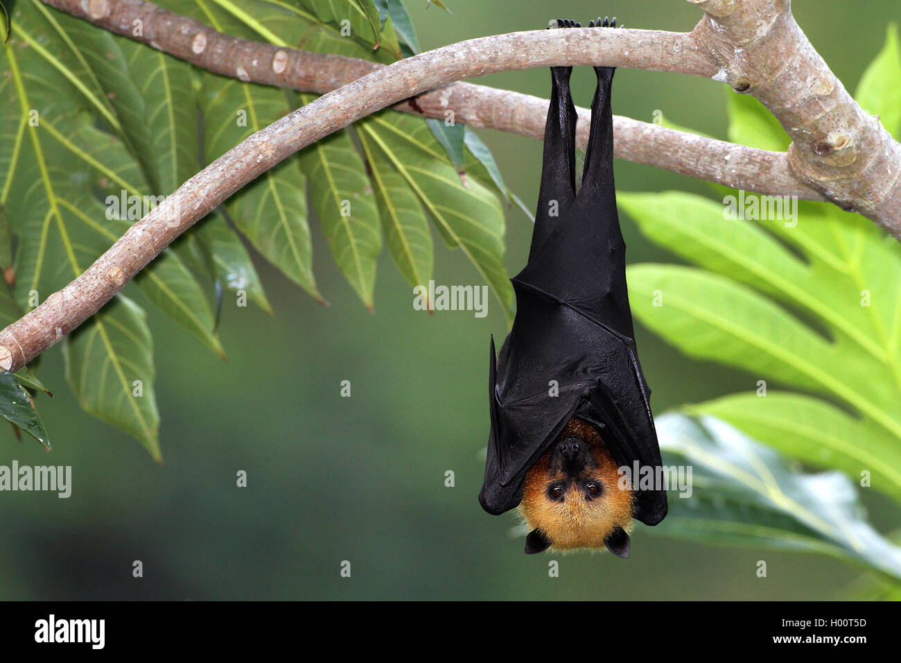 Seychellen-Flughund, Seychellenflughund (Pteropus seychellensis), haengt an einem Ast im Baum, Seychellen | seychelles - Stock Image