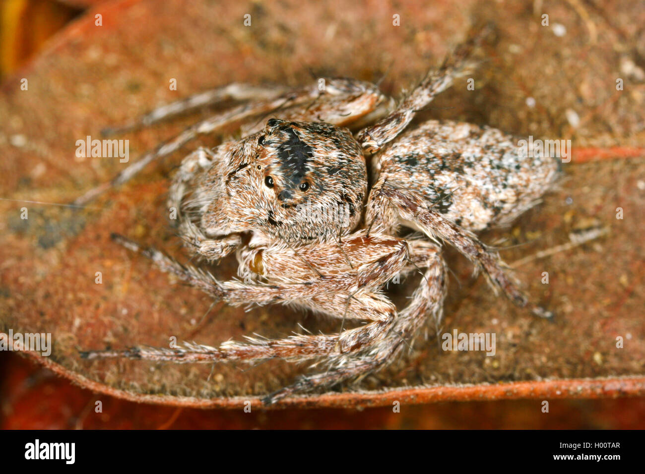 Tropische Kugelspinne, Tropische Kugel-Spinne (Theridiidae), sitzt auf welkem Blatt, Costa Rica | cobweb spider - Stock Image