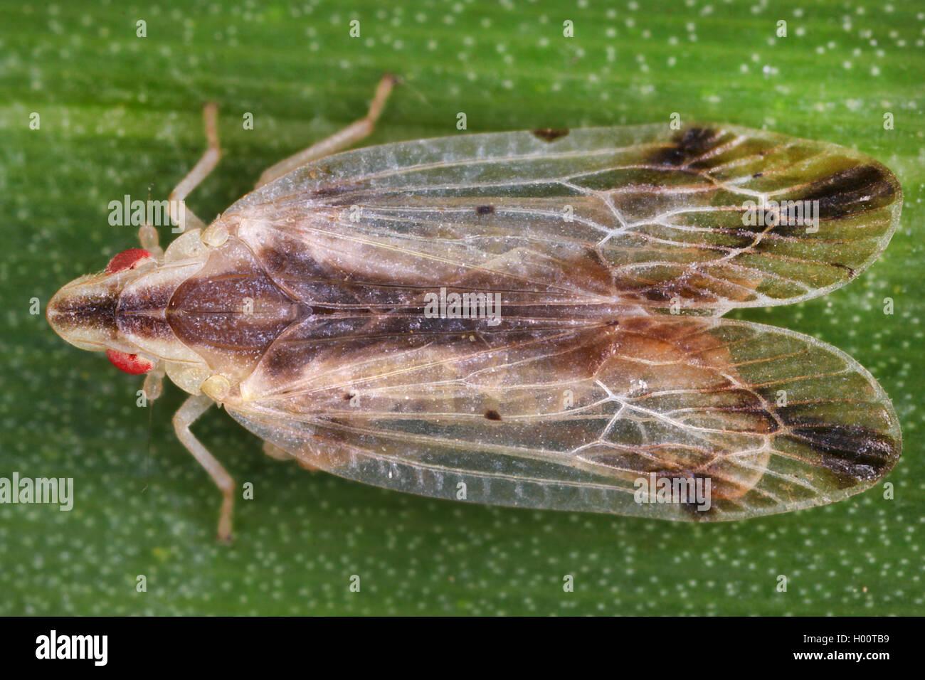 Mueckenzikade, Muecken-Zikade (Tropiduchidae), sitzt auf einem Blatt, Costa Rica | Tropiduchid planthopper (Tropiduchidae), - Stock Image