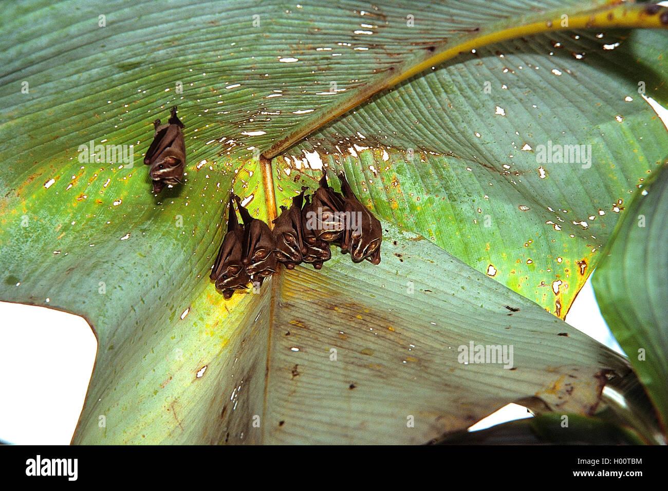 Gelbohrfledermaus, Gelbohr-Fledermaus (Uroderma bilobatum), Gruppe haengt unter einem Bananenblatt, Costa Rica   - Stock Image