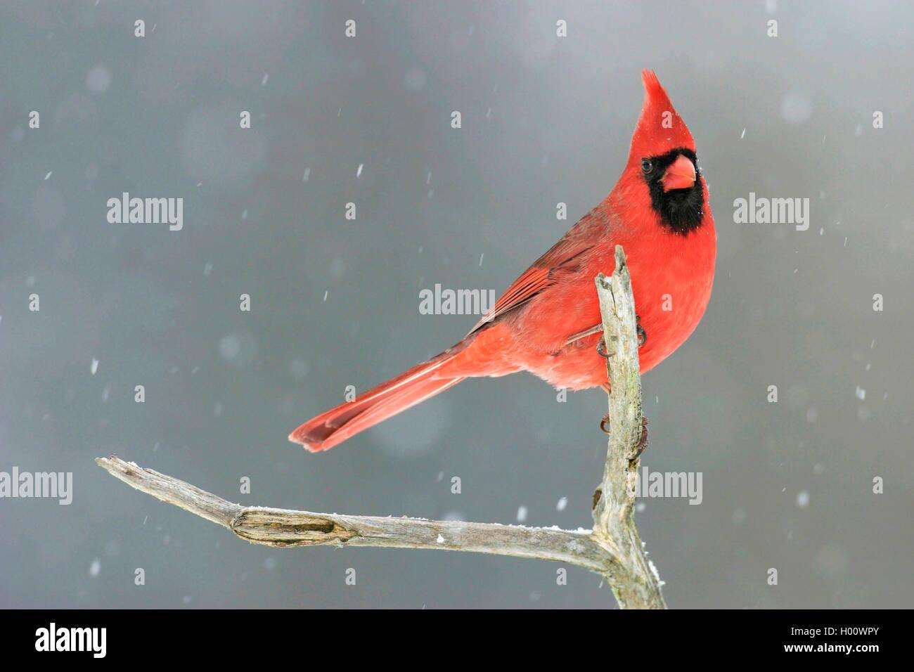 Rotkardinal, Rot-Kardinal, Roter Kardinal (Cardinalis cardinalis), sitzt bei Schneefall auf einem Ast, USA, Michigan - Stock Image