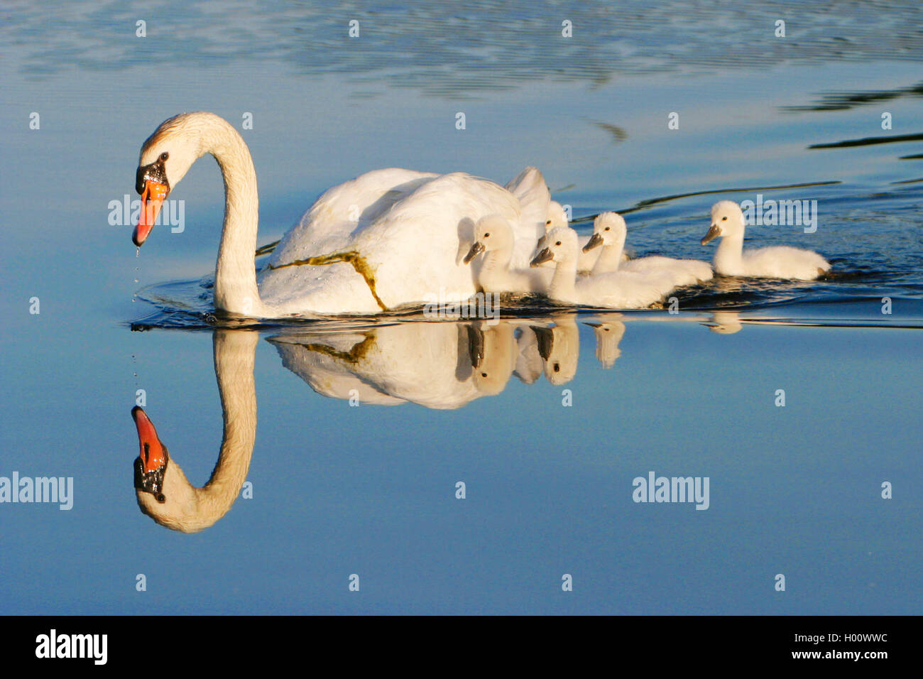 Hoeckerschwan, Hoecker-Schwan (Cygnus olor), mit Jungschwaenen, USA, Michigan | mute swan (Cygnus olor), with chicks, - Stock Image