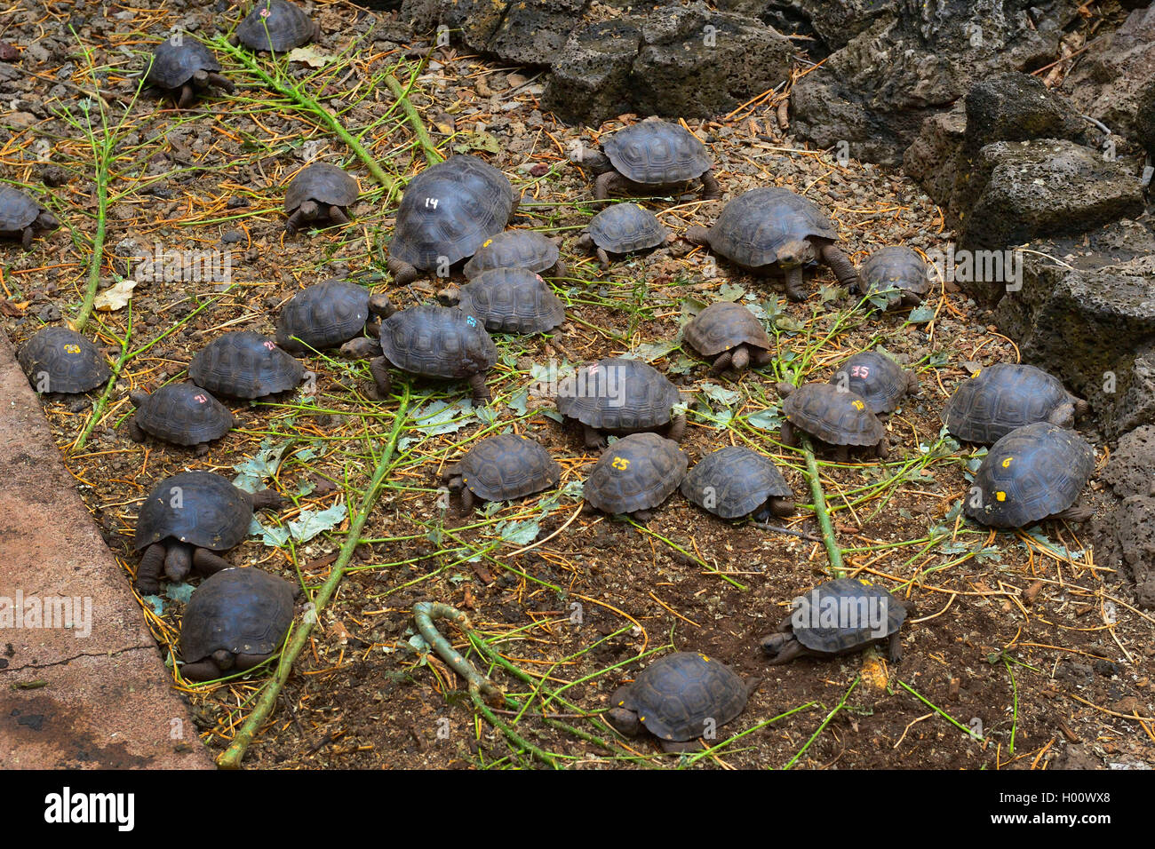 Galapagos-Riesenschildkroete, Galapagosriesenschildkroete, Galapagos-Schildkroete, Galapagosschildkroete, Elefantenschildkroete, - Stock Image