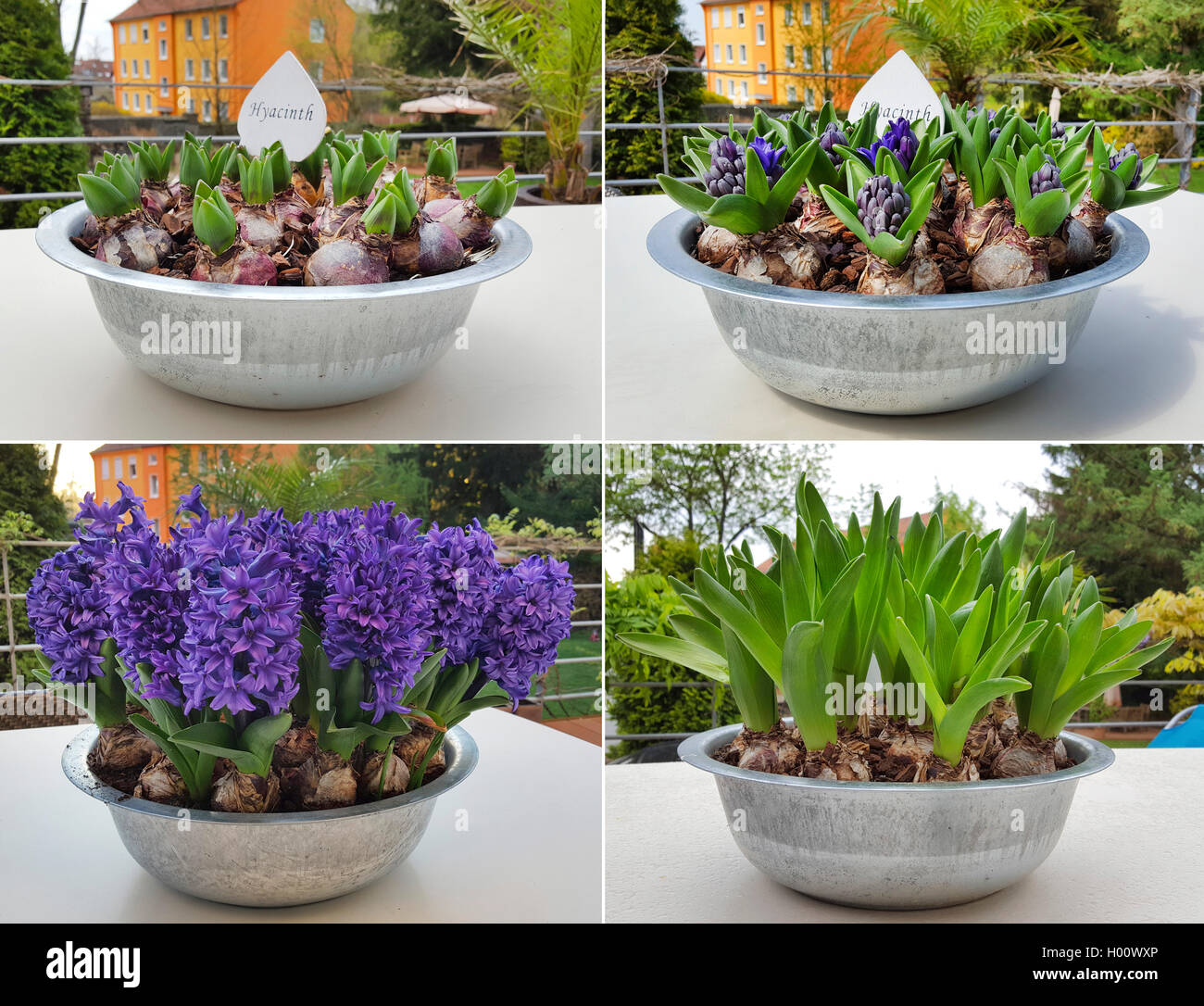 Jacinthe (Hyacinthus orientalis), four different stages of flowering in a flower bowl, Germany Stock Photo