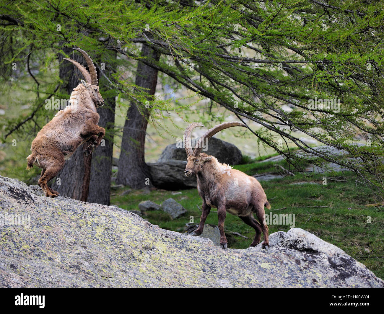 Alpine ibex (Capra ibex, Capra ibex ibex), ibexes in playful fights at the beginning of summer, Italy, Gran Paradiso Stock Photo