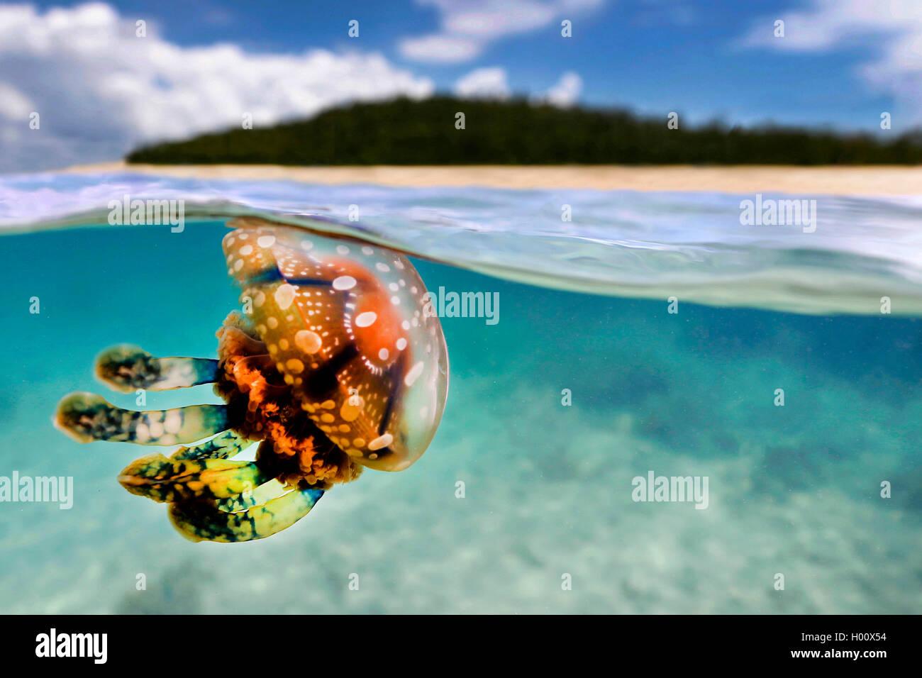 Mastigias-Qualle, Mastigiasqualle, Mastigias-Schirmqualle, Mastigiasschirmqualle (Mastigias papua), an der Wasseroberflaeche, - Stock Image