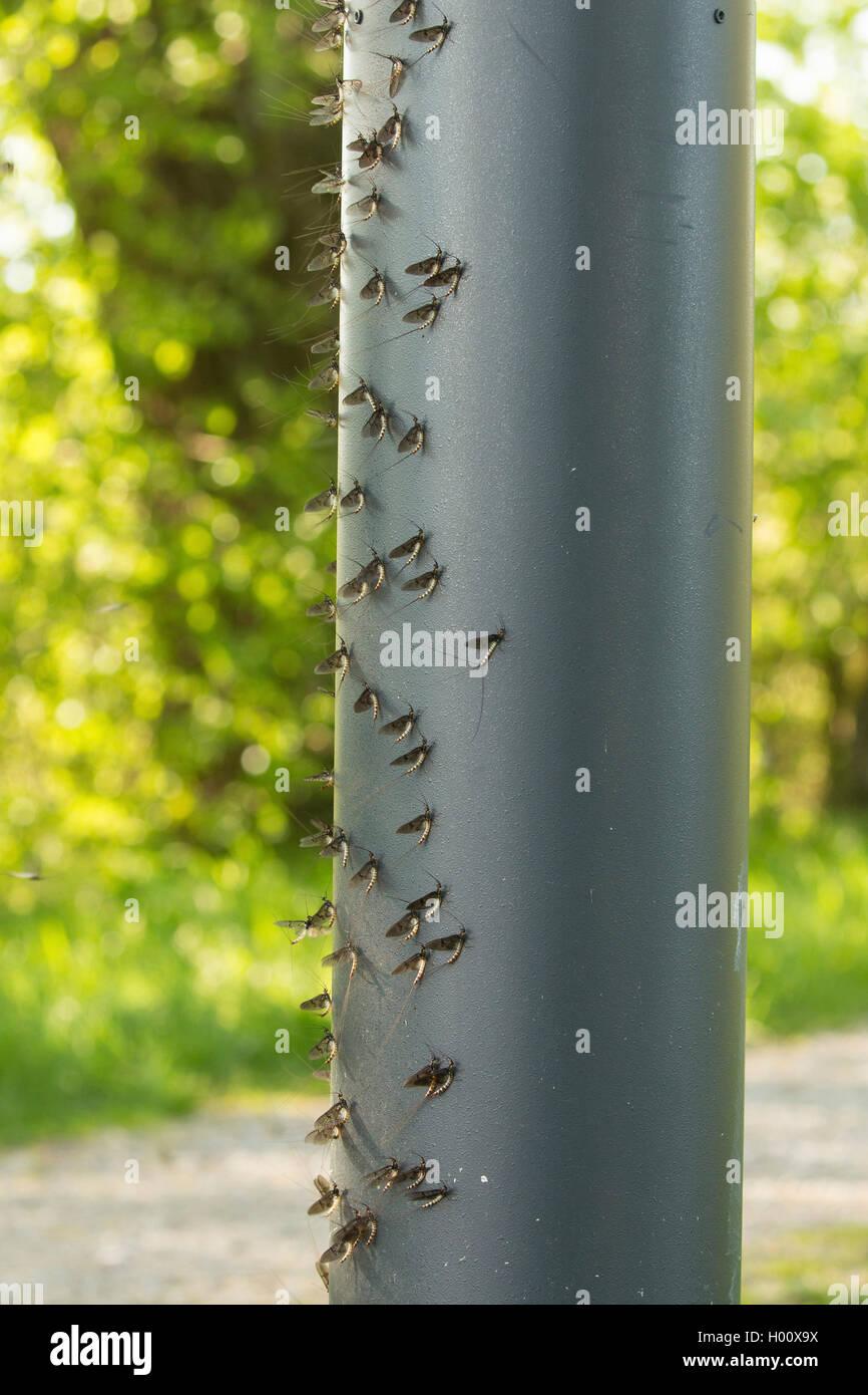 Gemeine Eintagsfliege, Braune Maifliege (Ephemera vulgata), in grosser Zahl an der windabgewandten Seite einer  - Stock Image