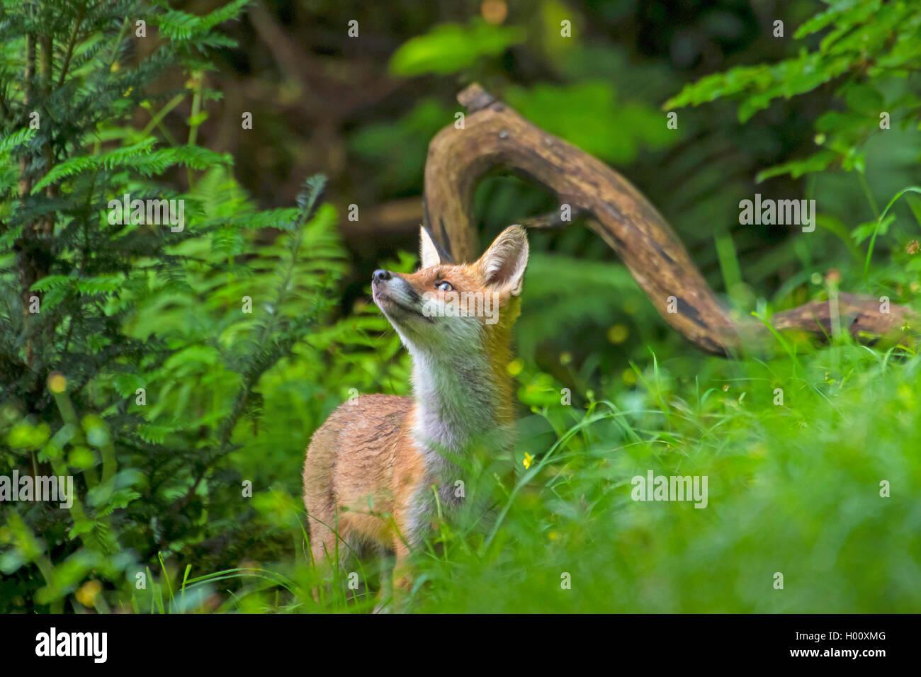 Fuchs nahrung