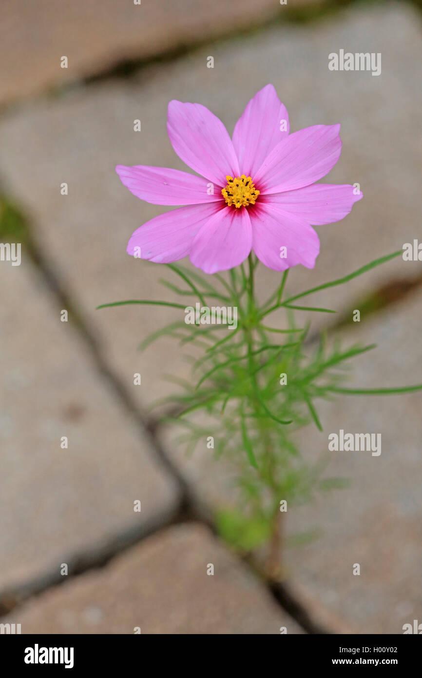 Schmuckkoerbchen, Schmuck-Koerbchen, Fiederblaettrige Schmuckblume, Cosmea, Kosmee (Cosmos bipinnatus), verwildert Stock Photo