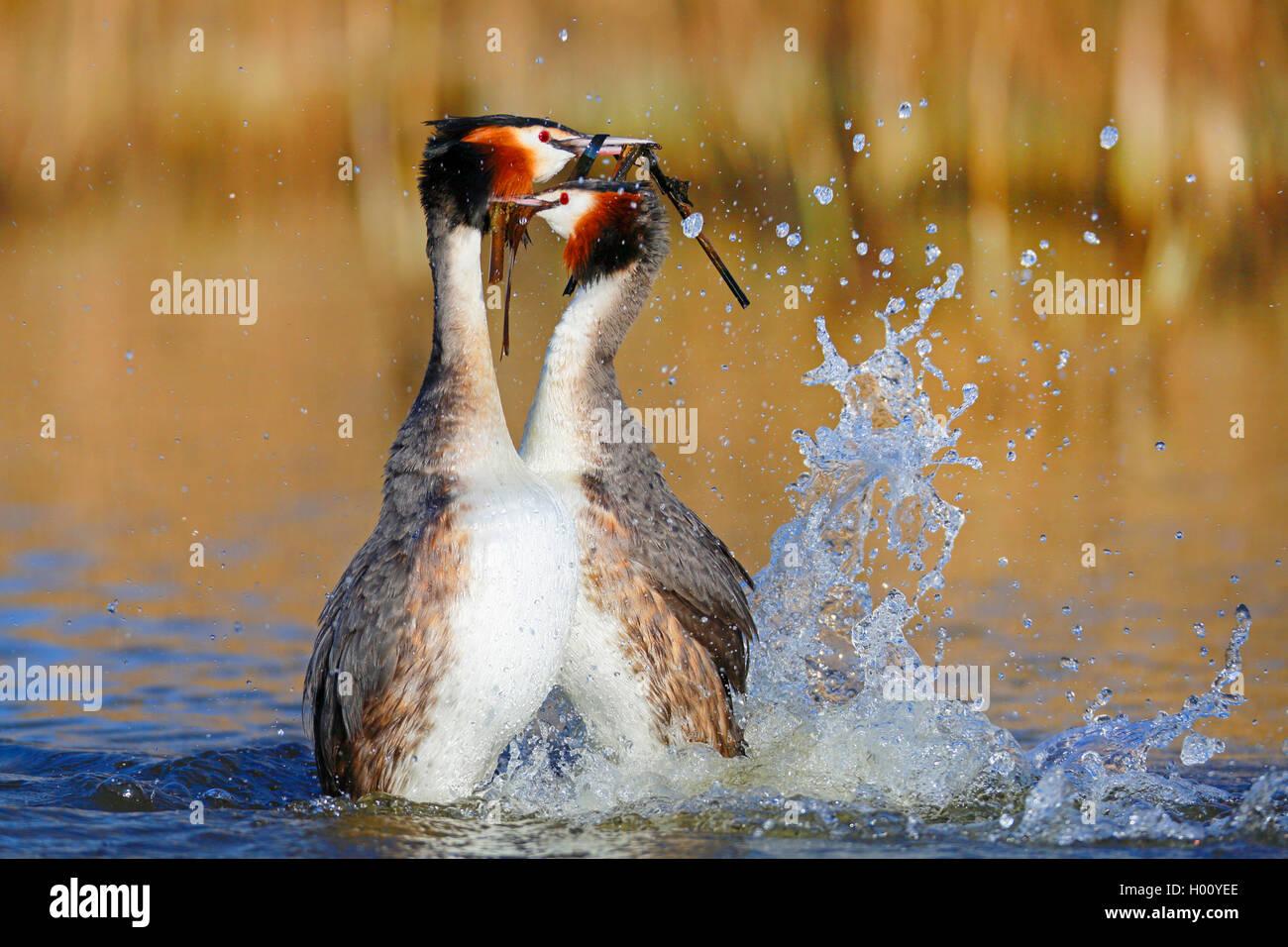 Haubentaucher, Hauben-Taucher (Podiceps cristatus), Paar balzt auf dem Wasser, Pinguintanz, Niederlande, Friesland   great crest Stock Photo