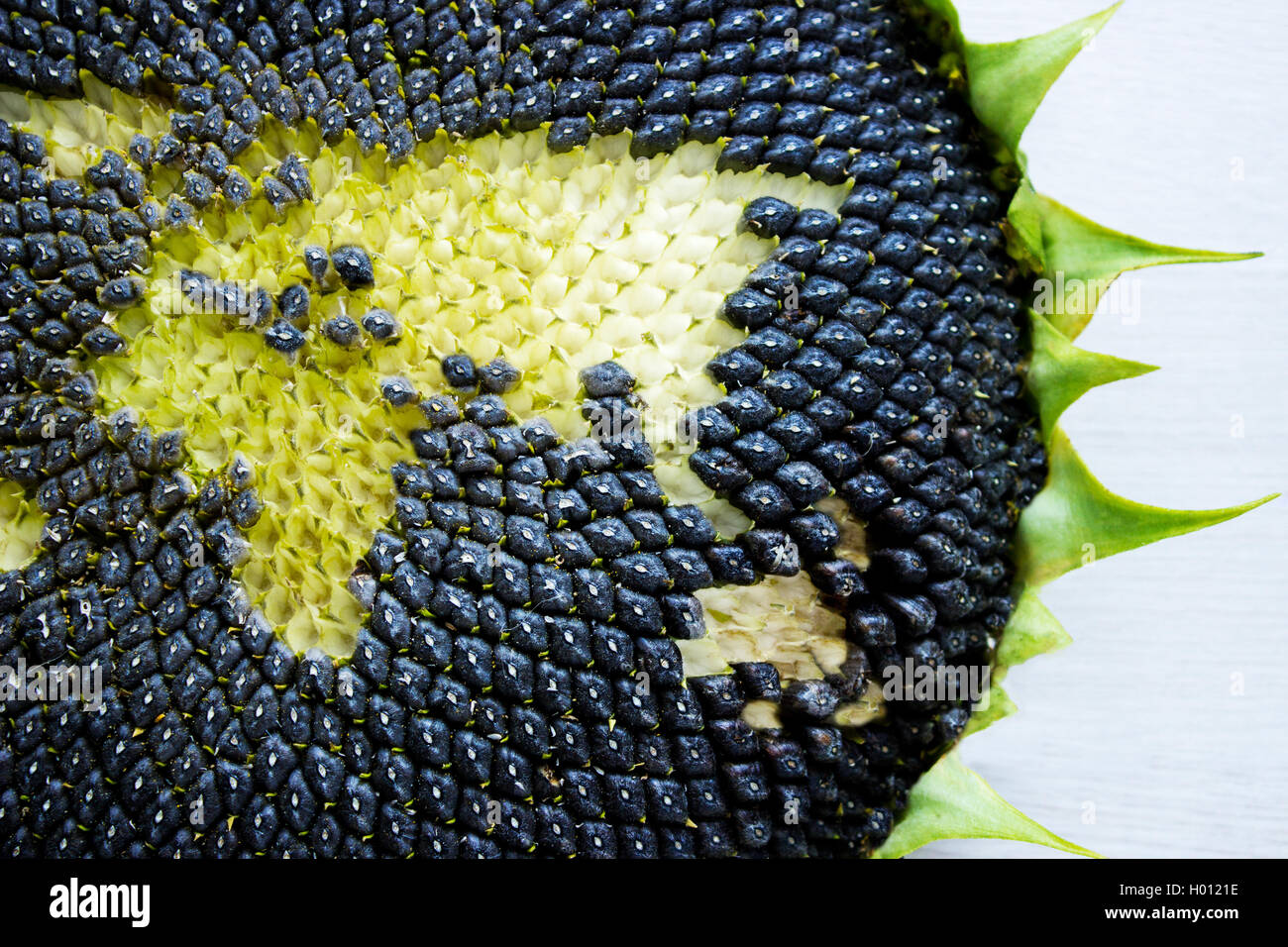 world map made from whole sunflower. Eurasia - Stock Image