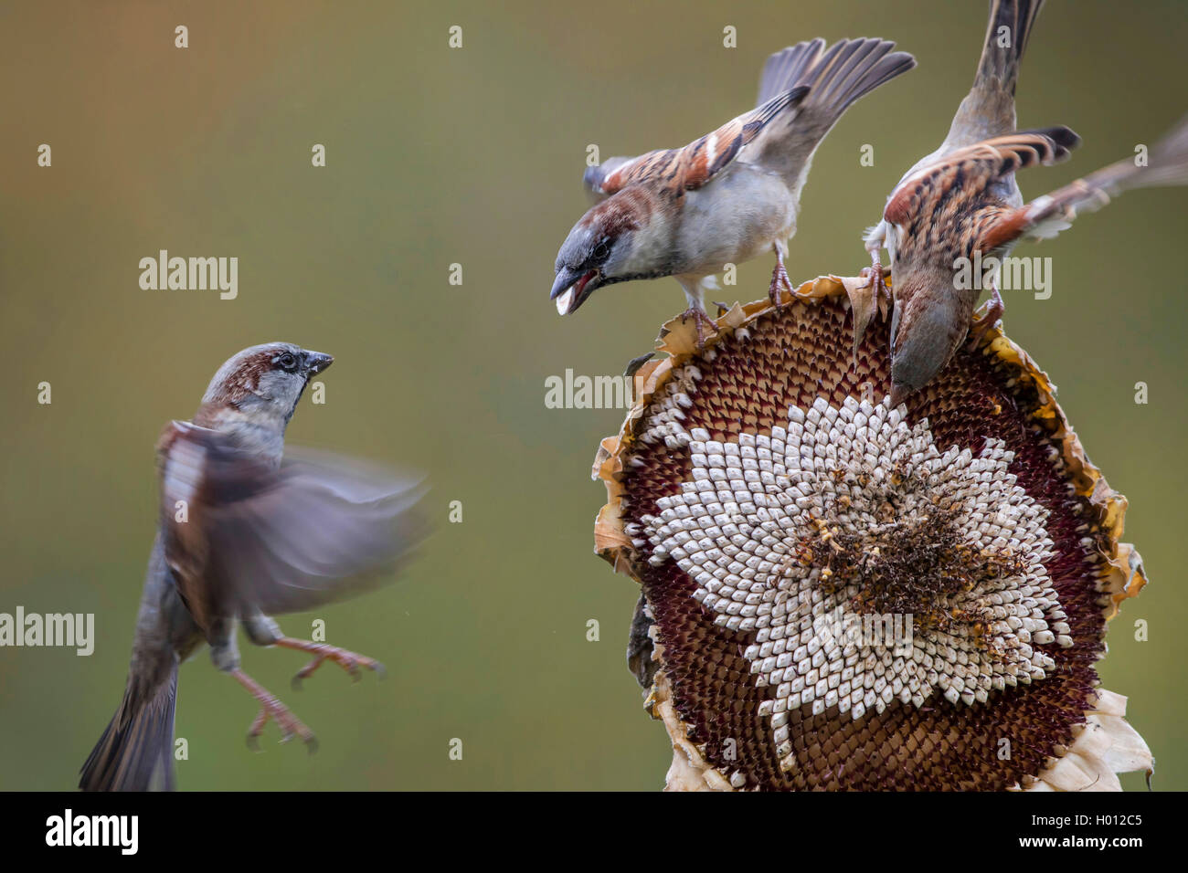 Haussperling, Haus-Sperling, Hausspatz, Haus-Spatz, Spatz (Passer domesticus), Spatzen fressen an einer Sonnenblume, - Stock Image