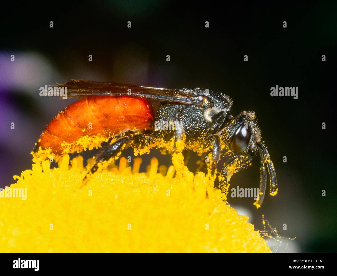 Grosse Blutbiene, Grosse Blut-Biene (Sphecodes albilabris), Weibchen bei der Nektaraufnahme auf Margerite (Leucanthemum - Stock Image