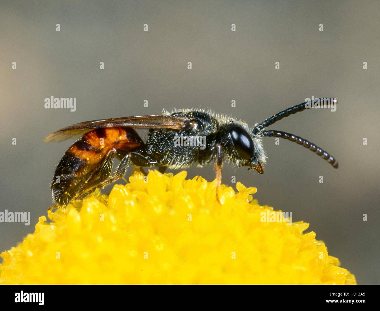 Blutbiene, Sphecodes crassus (Sphecodes crassus), Maennchen bei der Nektaraufnahme auf Echter Kamille (Matricaria - Stock Image