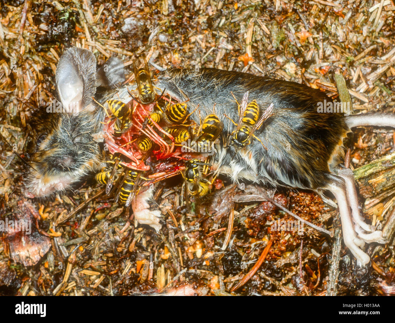 Saechsische Wespe (Dolichovespula saxonica, Vespula saxonica), Wespen fressen an toter Maus, Deutschland | Saxon - Stock Image