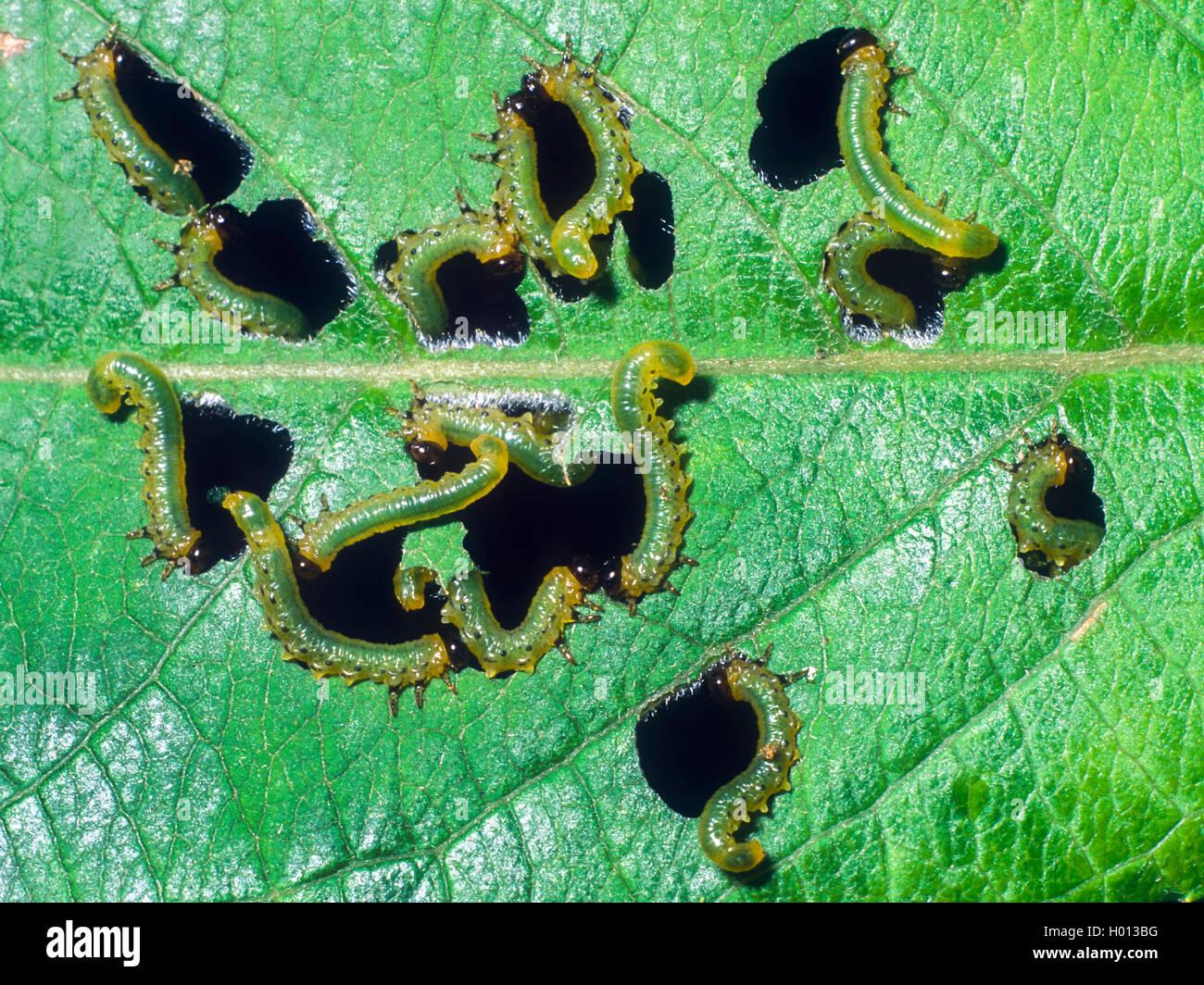 Blattwespe, Blatt-Wespe (Tenthredinidae), Larven beim Fensterfrass an der Unterseite eines Schwarzerlen-Blattes - Stock Image