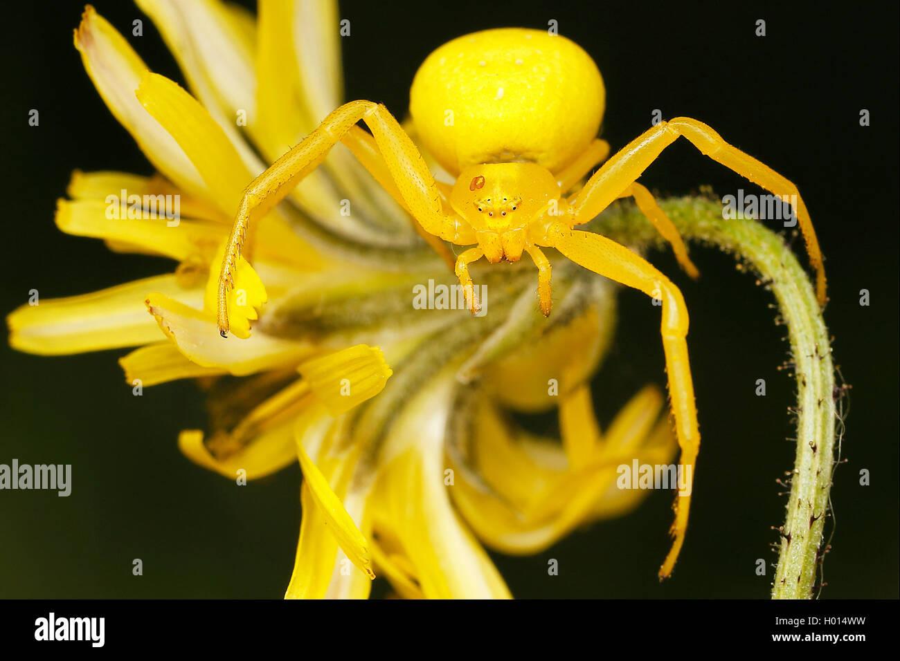 Veraenderliche Krabbenspinne, Veraenderliche Krabben-Spinne (Misumena vatia), Weibchen, Oesterreich | goldenrod - Stock Image