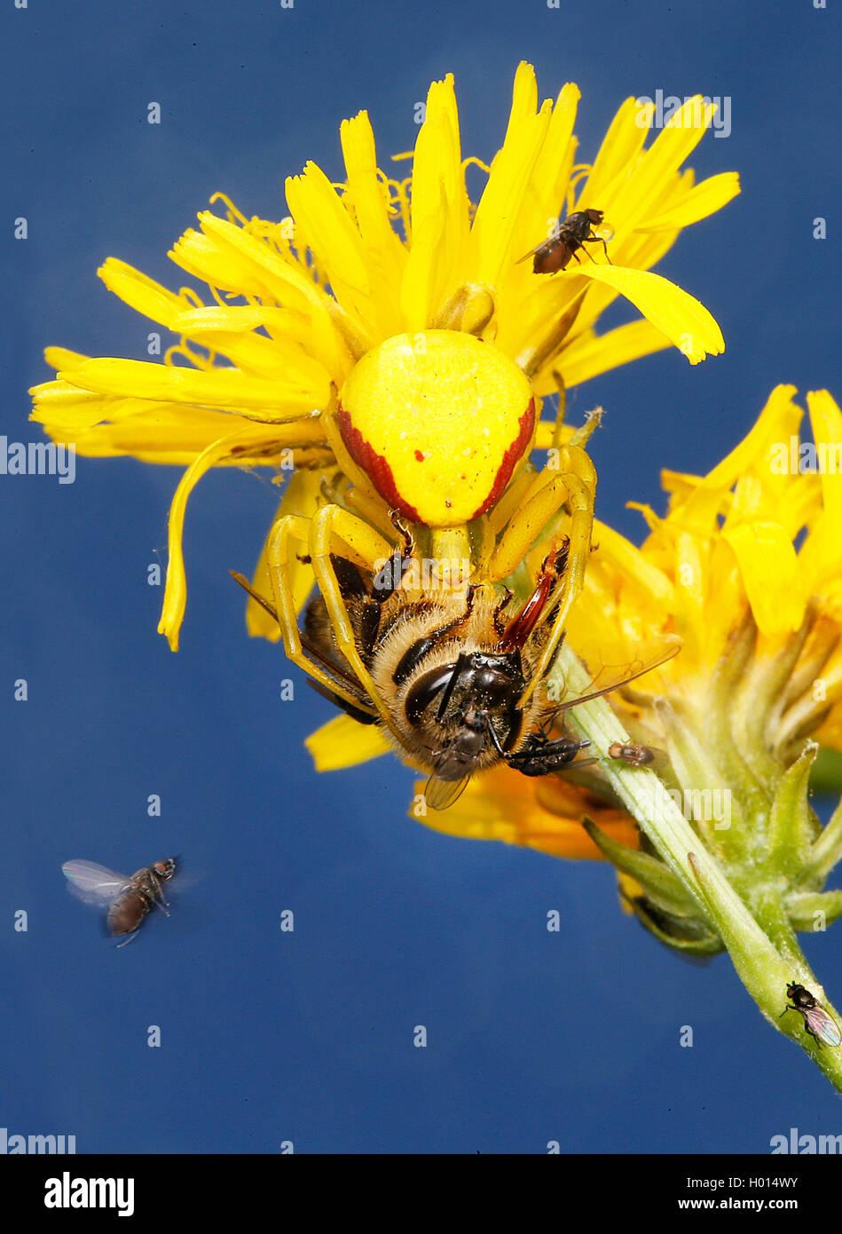 goldenrod crab spider (Misumena vatia), with prey on a yellow composite, Austria Stock Photo