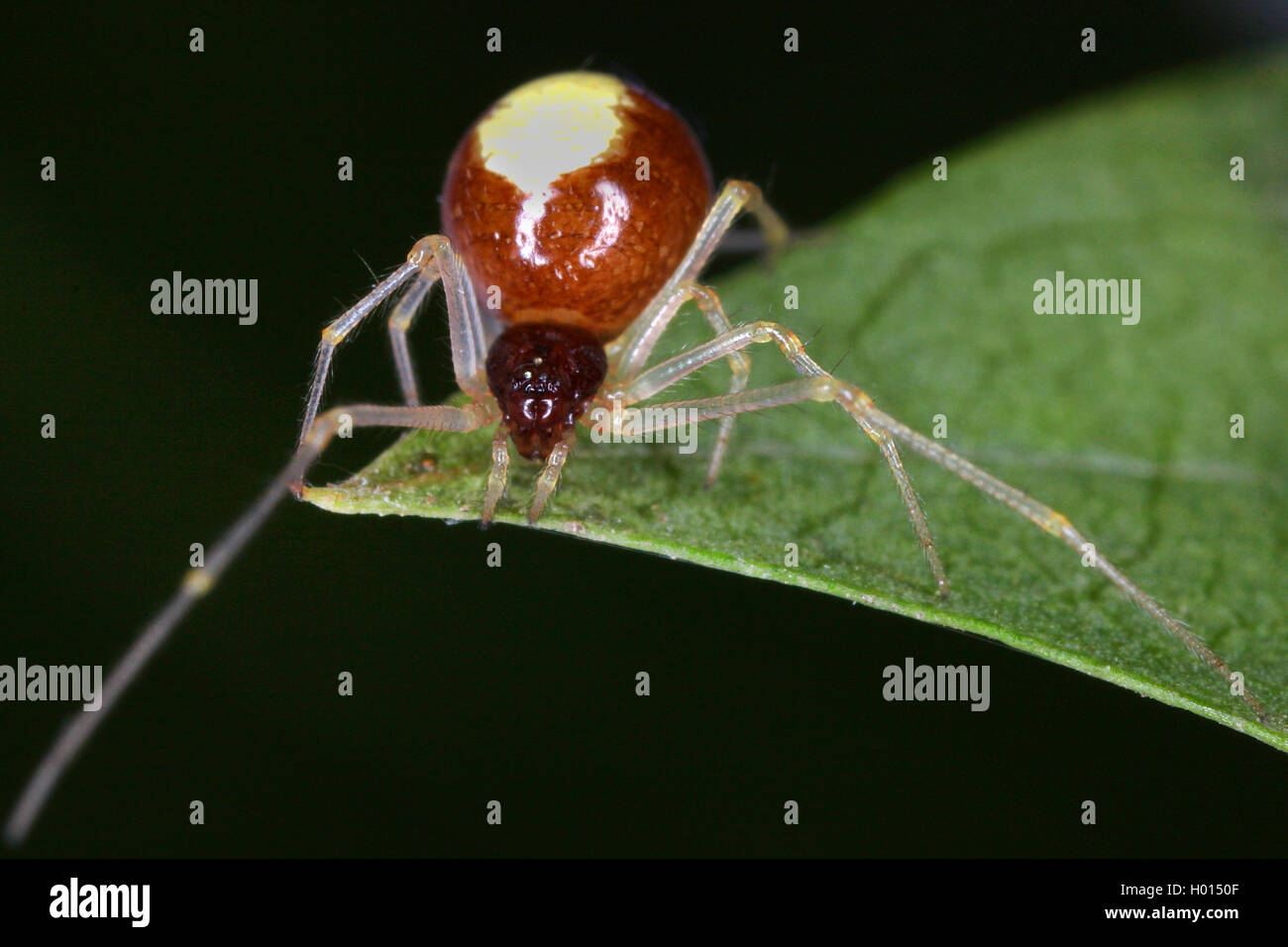 Kugelspinne, Haubennetzspinne (Theridiidae), auf einem Blatt, Oesterreich | comb-footed spider (Theridiidae), on - Stock Image