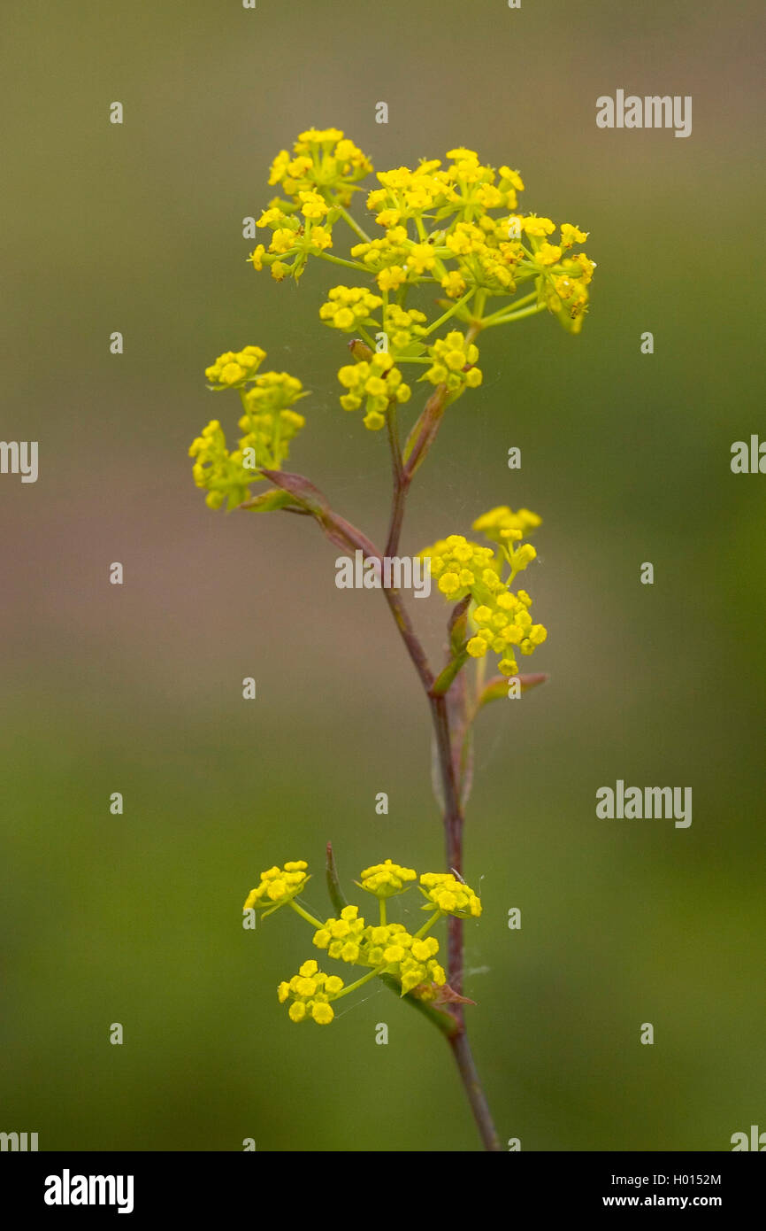 Sickle-leaved hare's-ear (Bupleurum falcatum), blooming, Germany Stock Photo