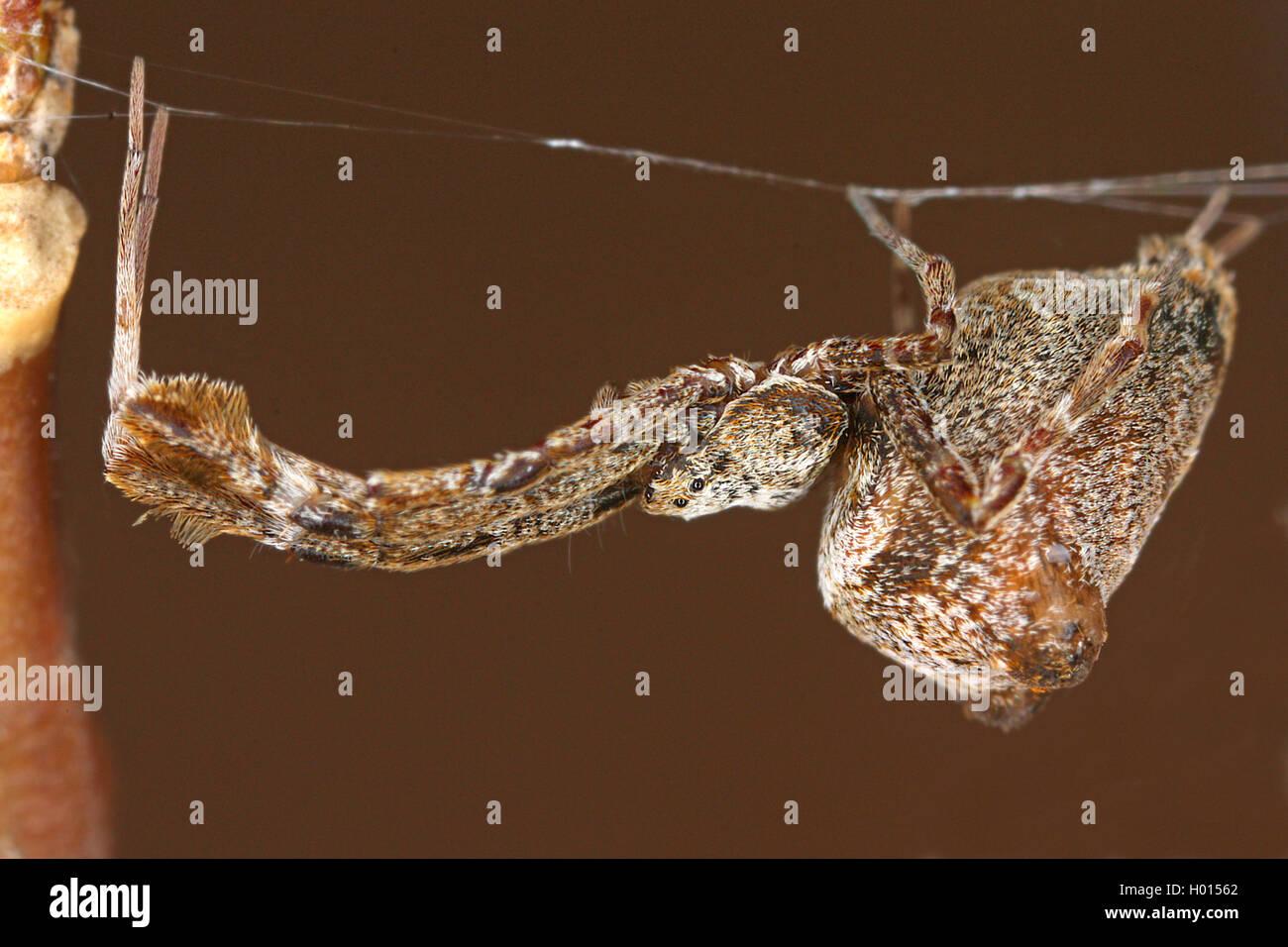 Gewaechshaus-Federfussspinne, Gewaechshausederfussspinne (Uloborus plumipes), Weibchen, Oesterreich | feather-legged - Stock Image