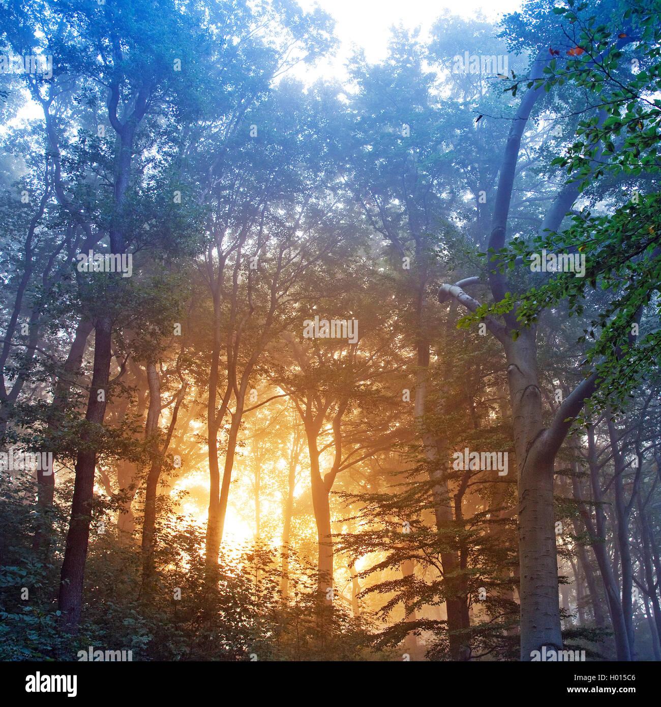 Sonnenaufgang in nebeliger Waldlandschaft, Deutschland, Nordrhein-Westfalen, Ruhrgebiet, Witten | sunrise in misty - Stock Image