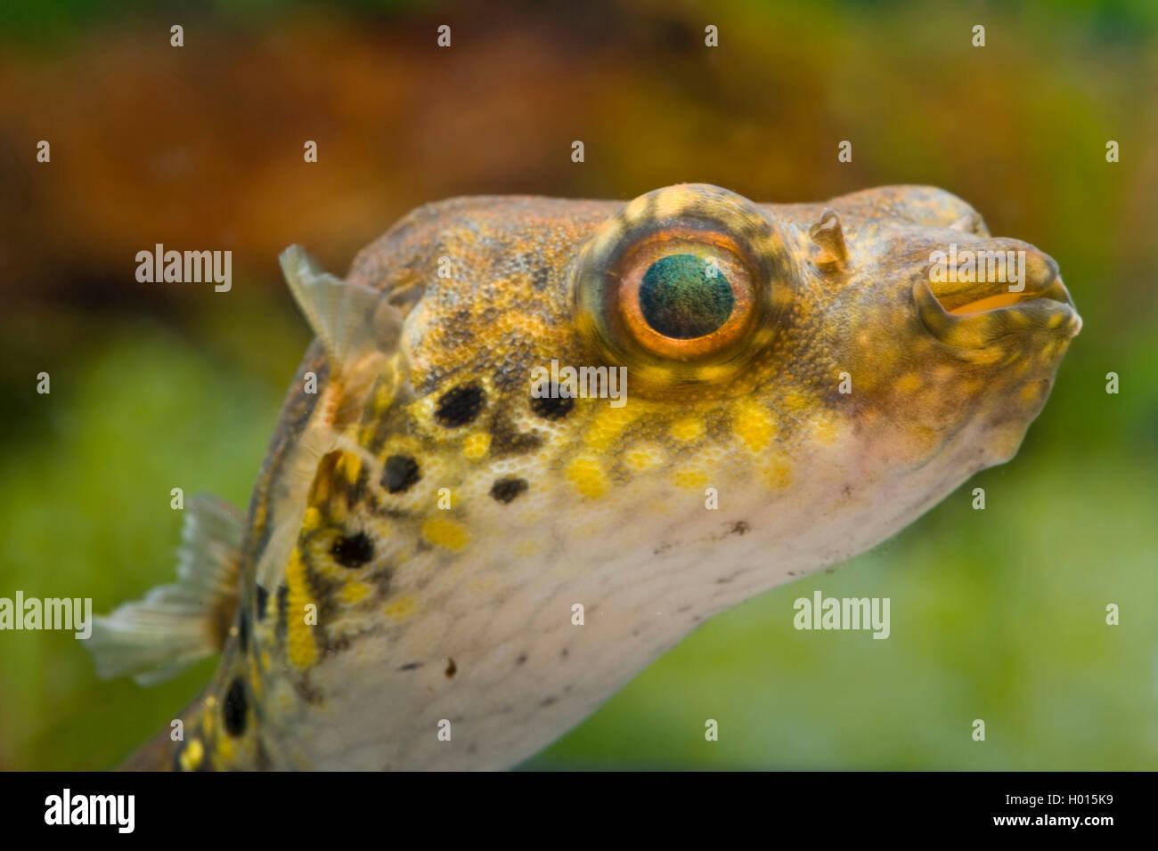 Palembang-Kugelfisch, Palembangkugelfisch (Tetraodon steindachneri, Tetraodon biocellatus, Tetraodon palembangensis, - Stock Image