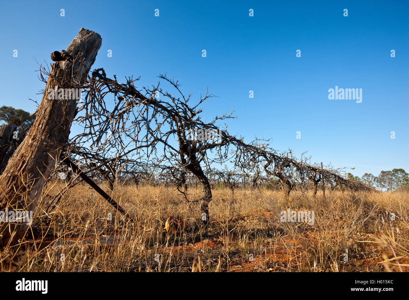 Drought in the Murray Darling Basin area of  South Eastern Australia  forced farmers to allow their vineyards to - Stock Image