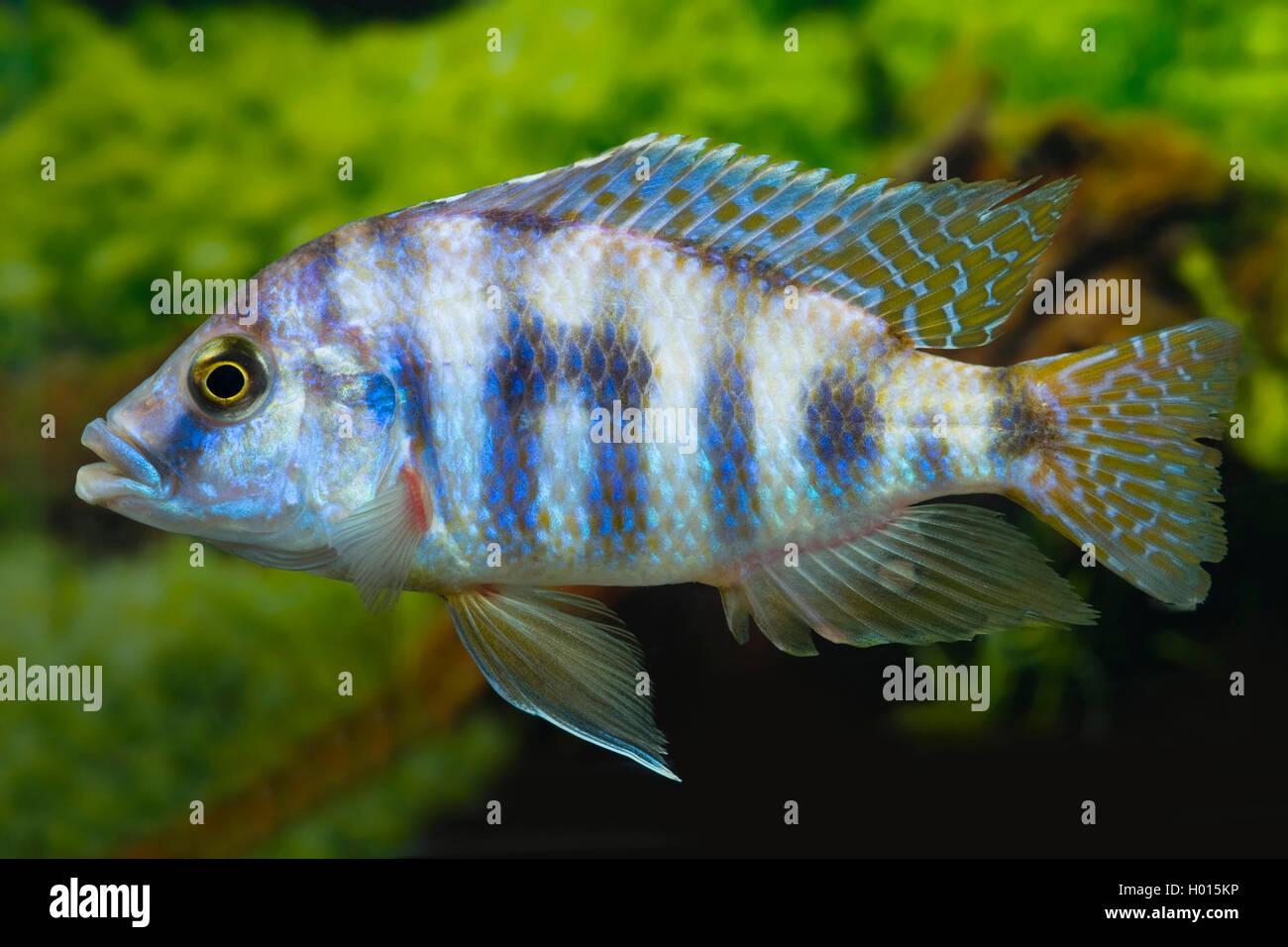 Milomobuntbarsch, Milomo-Buntbarsch (Placidochromis milomo), schwimmend | Thicklipps Malawi Cichlid (Placidochromis - Stock Image