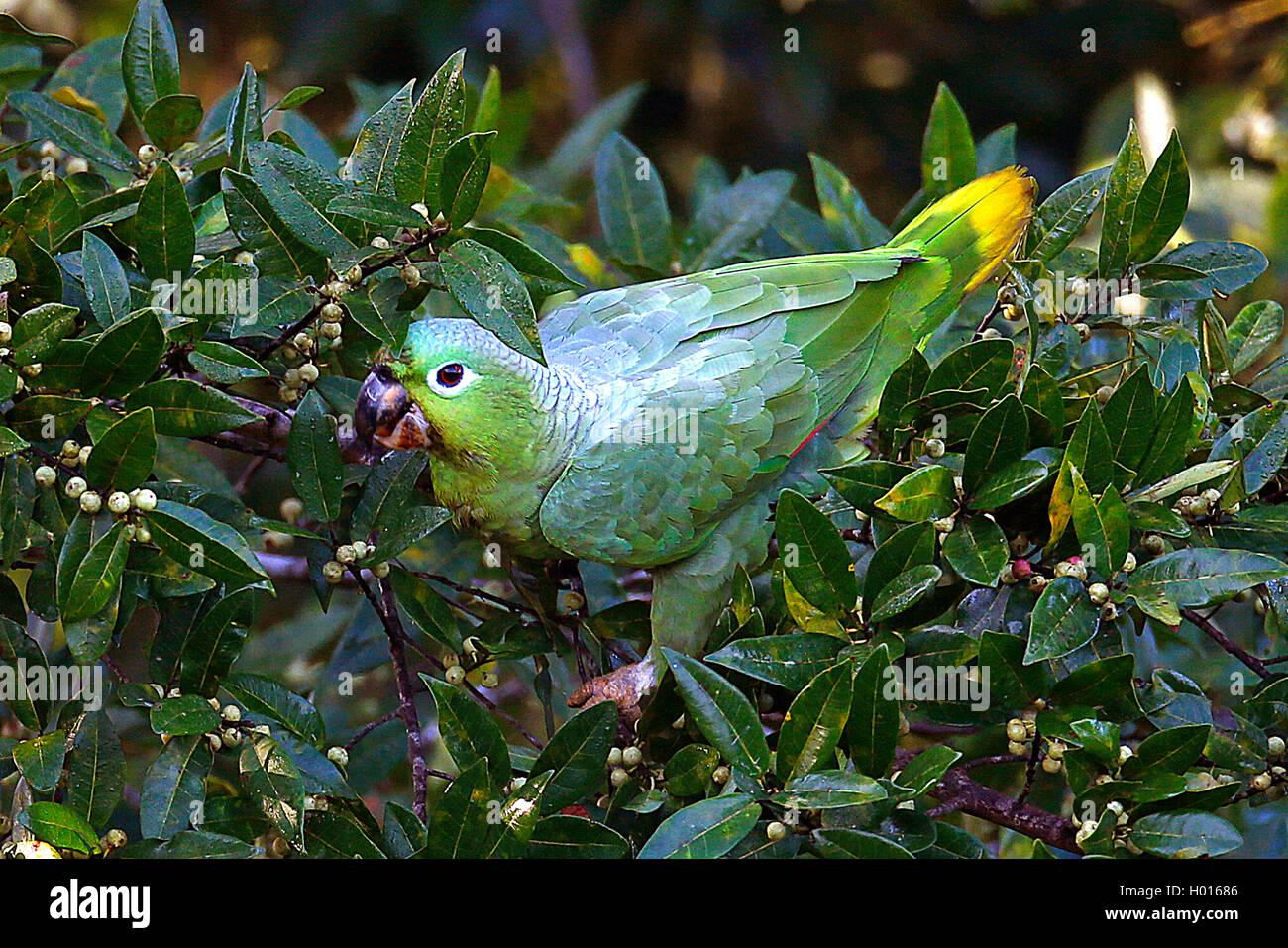 Muelleramazone, Mueller-Amazone (Amazona farinosa), bei der Nahrungssuche auf einem Strauch, Costa Rica | Mealy Stock Photo