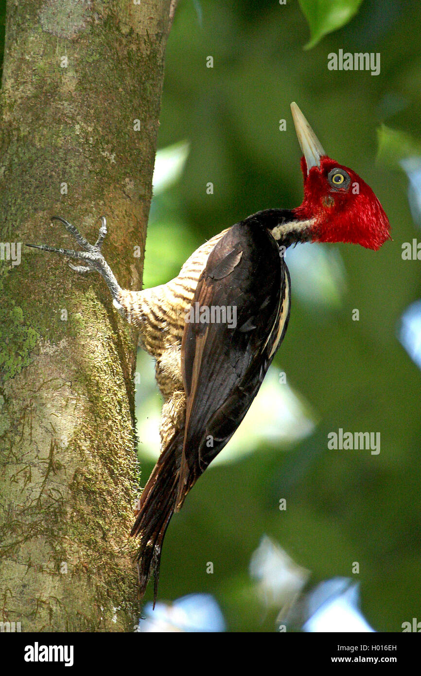 Koenigsspecht, Koenigs-Specht (Campephilus guatemalensis), Maennchen an einem Baumstamm, Costa Rica | pale-billed - Stock Image