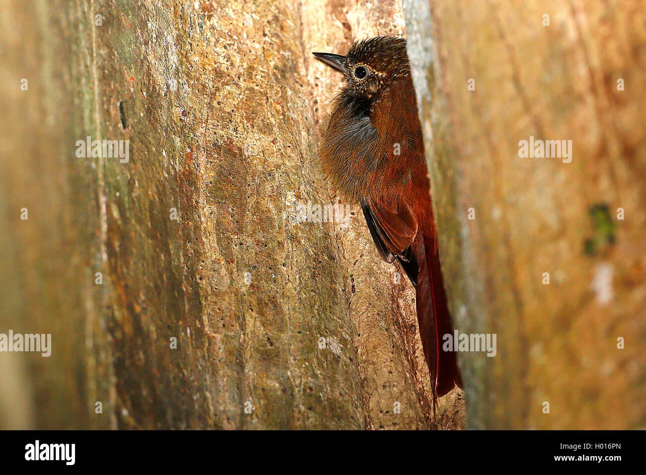 Rindenpicker, Keilschnabel-Baumsteiger, Keilschnabelbaumsteiger (Glyphorhynchus spirurus), zwischen zwei Baumstaemmen, - Stock Image