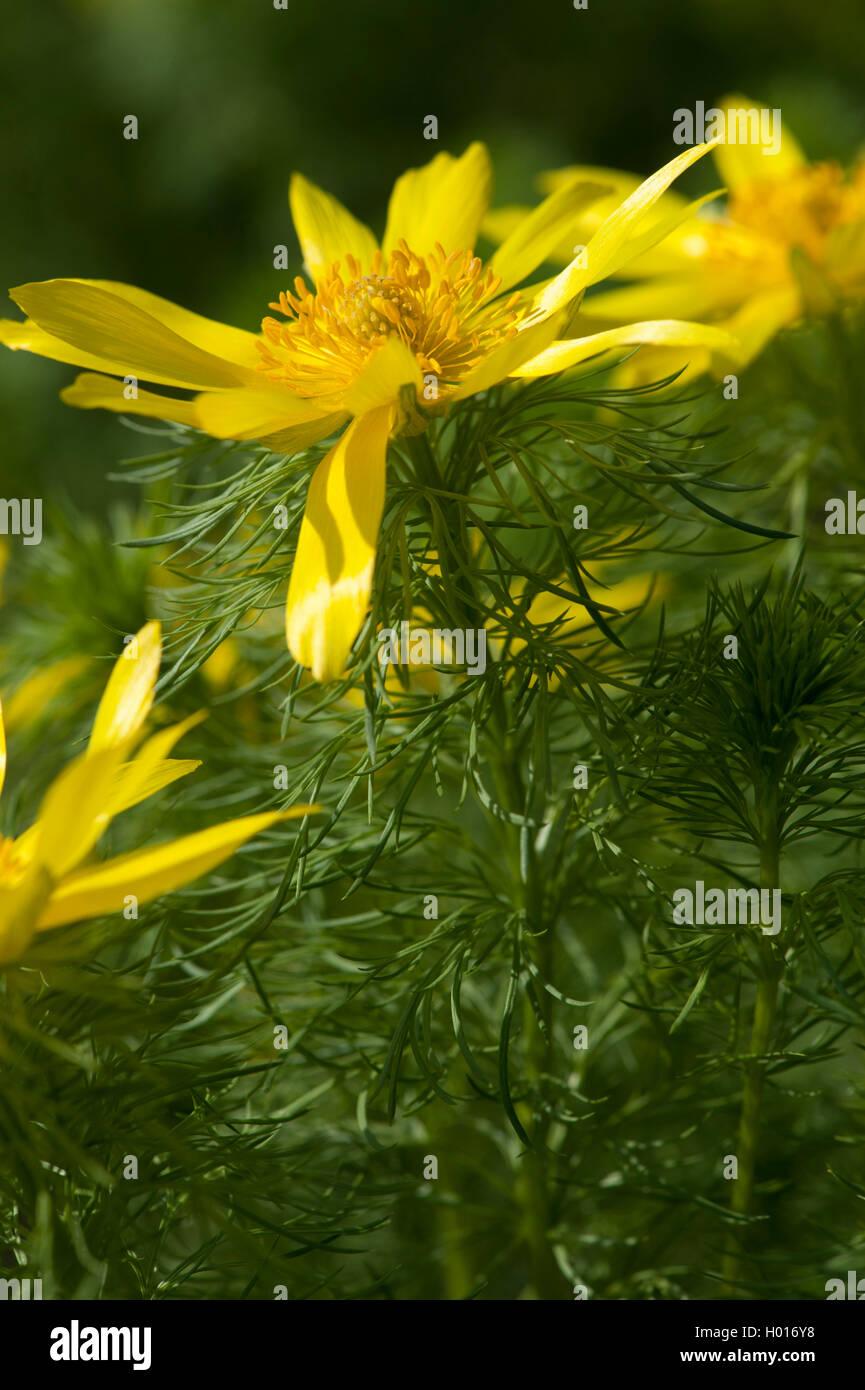 Fruehlings-Adonisroeschen, Fruehlingsadonisroeschen (Adonis vernalis), Bluete, Deutschland | spring adonis (Adonis - Stock Image