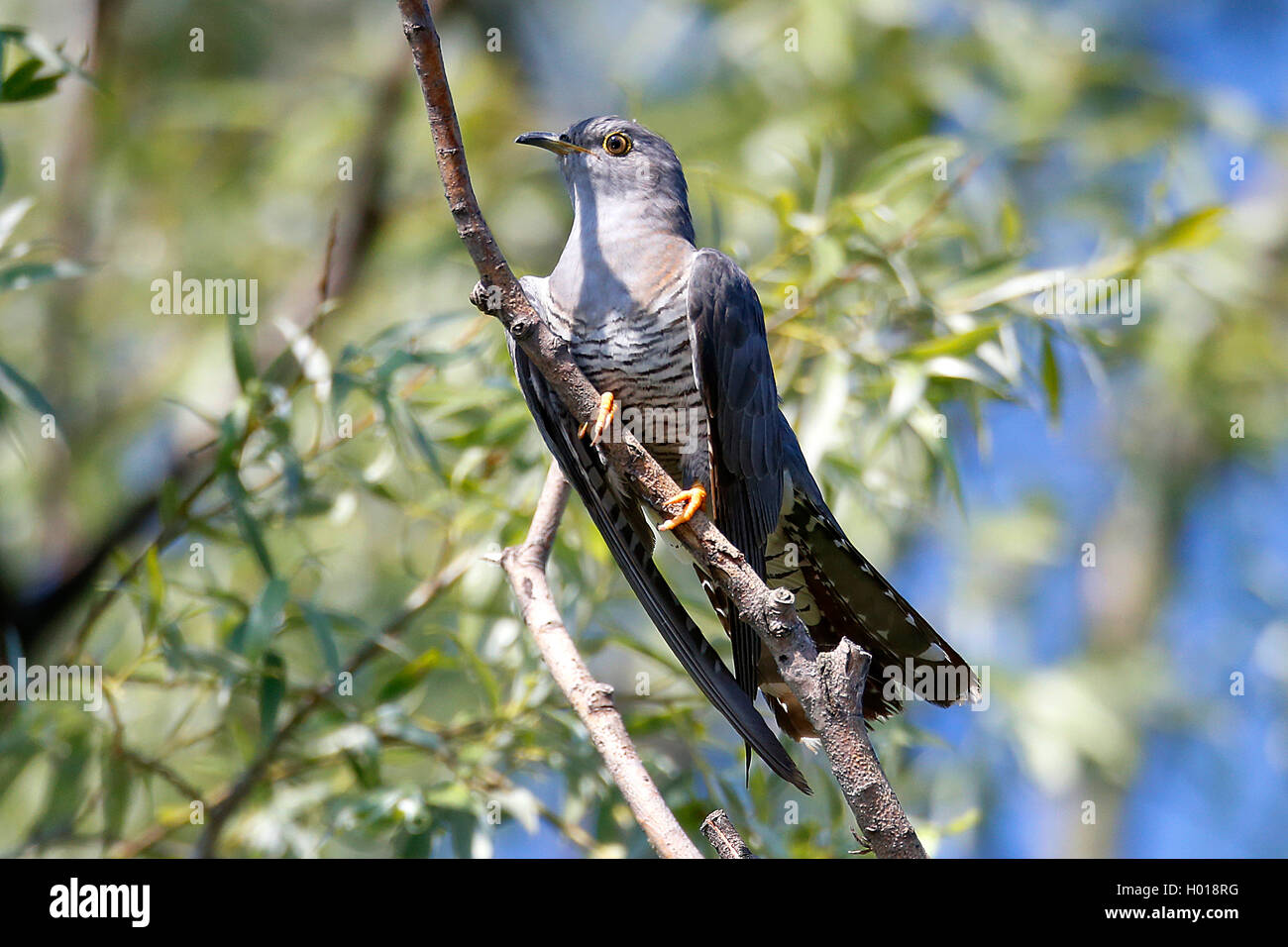 Kuckuck (Cuculus canorus), sitzt auf einem Ast, Rumaenien, Donaudelta | Eurasian cuckoo (Cuculus canorus), sitting - Stock Image