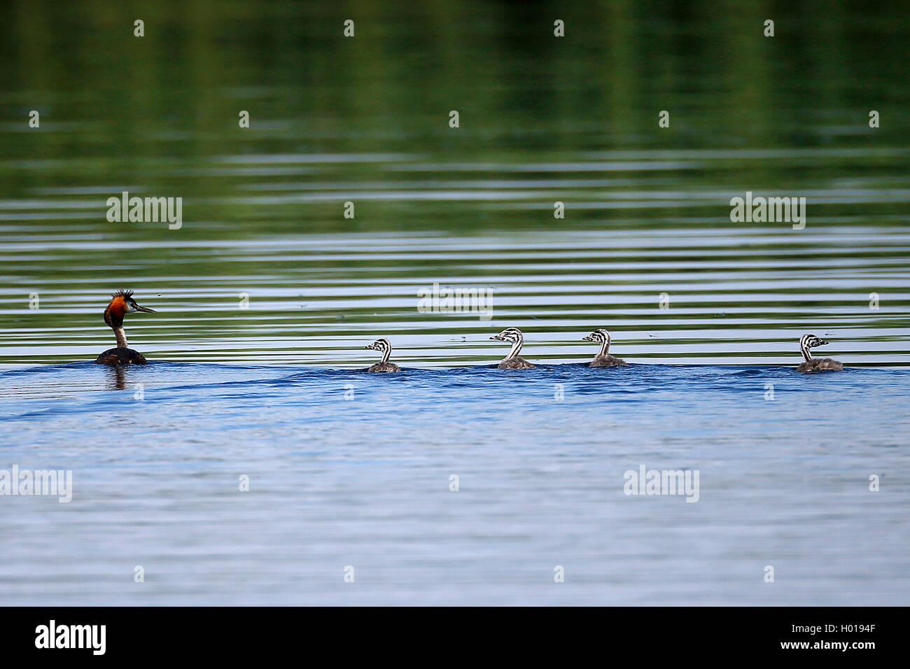 Haubentaucher, Hauben-Taucher (Podiceps cristatus), Altvogel mit vier Kueken, Rumaenien, Donaudelta   great crested - Stock Image