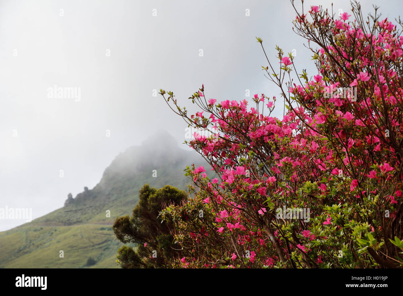 azalea (Azalea spec.), blooming azalea and Pico Negro with mist, Portugal, Azores, Flores Stock Photo