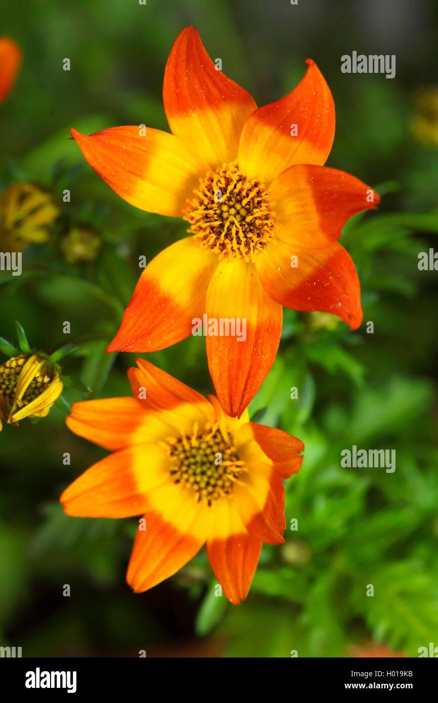 Garten-Dahlie, Gartendahlie (Dahlia spec.), bluehend | georgina (Dahlia spec.), blooming | BLWS427814.jpg [ (c) - Stock Image