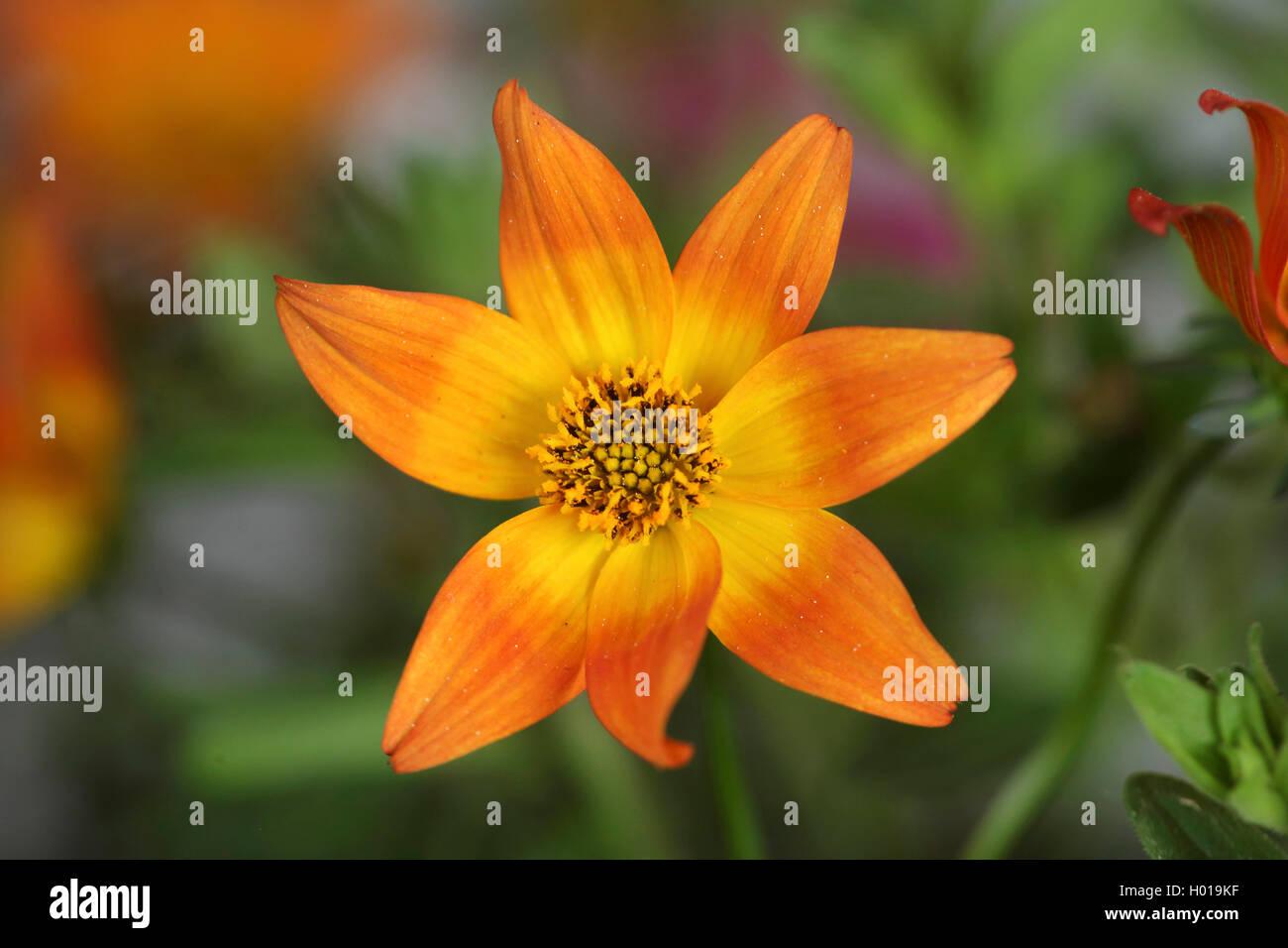 Garten-Dahlie, Gartendahlie (Dahlia spec.), bluehend | georgina (Dahlia spec.), blooming | BLWS427818.jpg [ (c) - Stock Image