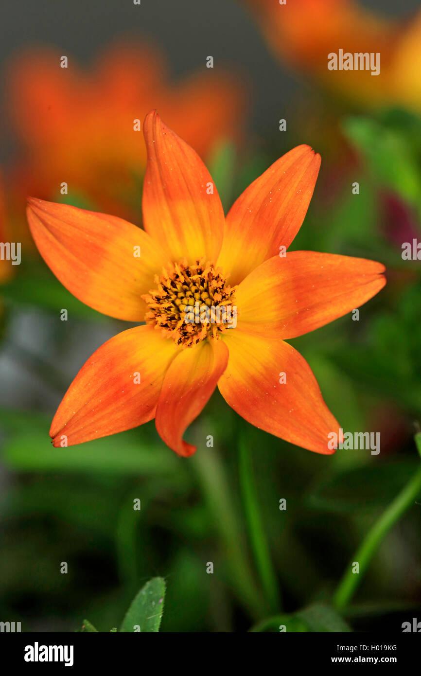 Garten-Dahlie, Gartendahlie (Dahlia spec.), bluehend | georgina (Dahlia spec.), blooming | BLWS427819.jpg [ (c) - Stock Image