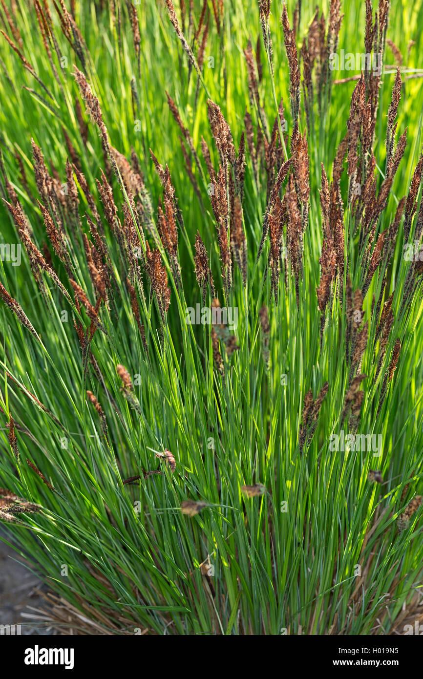 Steif-Segge, Steifsegge, Steife Segge (Carex elata), bluehend, Deutschland | tufted sedge, tufted-sedge, tussock - Stock Image